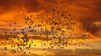 birds silhouettes sky flight sunset clouds 4k 1541116657 200x110 - birds, silhouettes, sky, flight, sunset, clouds 4k - Sky, silhouettes, Birds