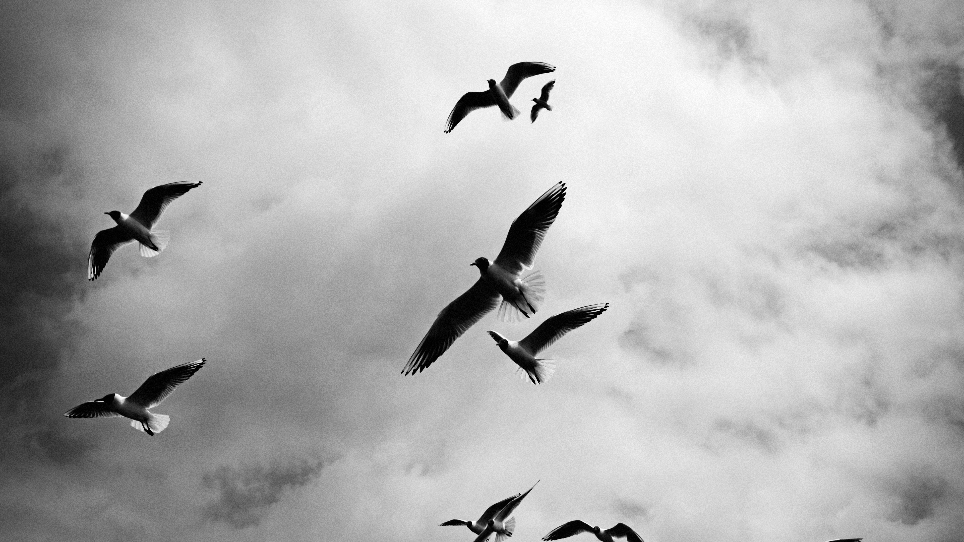 birds sky flight clouds bw 4k 1542242147 - birds, sky, flight, clouds, bw 4k - Sky, Flight, Birds