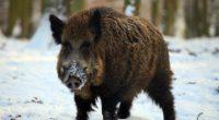 boar tusks winter snow forest 4k 1542242553 200x110 - boar, tusks, winter, snow, forest 4k - Winter, tusks, boar