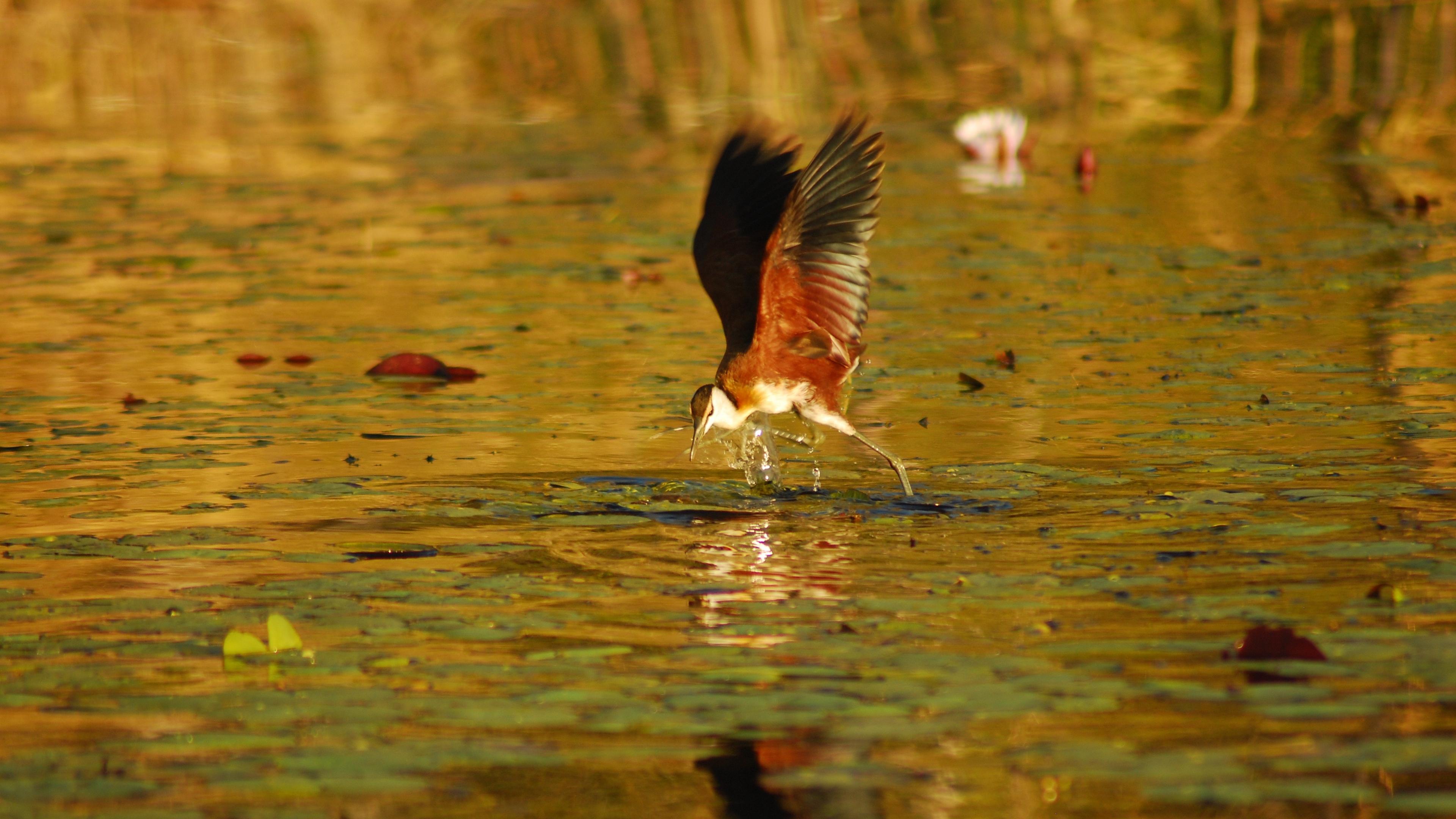 botswana bird africa flight 4k 1542242253 - botswana, bird, africa, flight 4k - Botswana, Bird, Africa