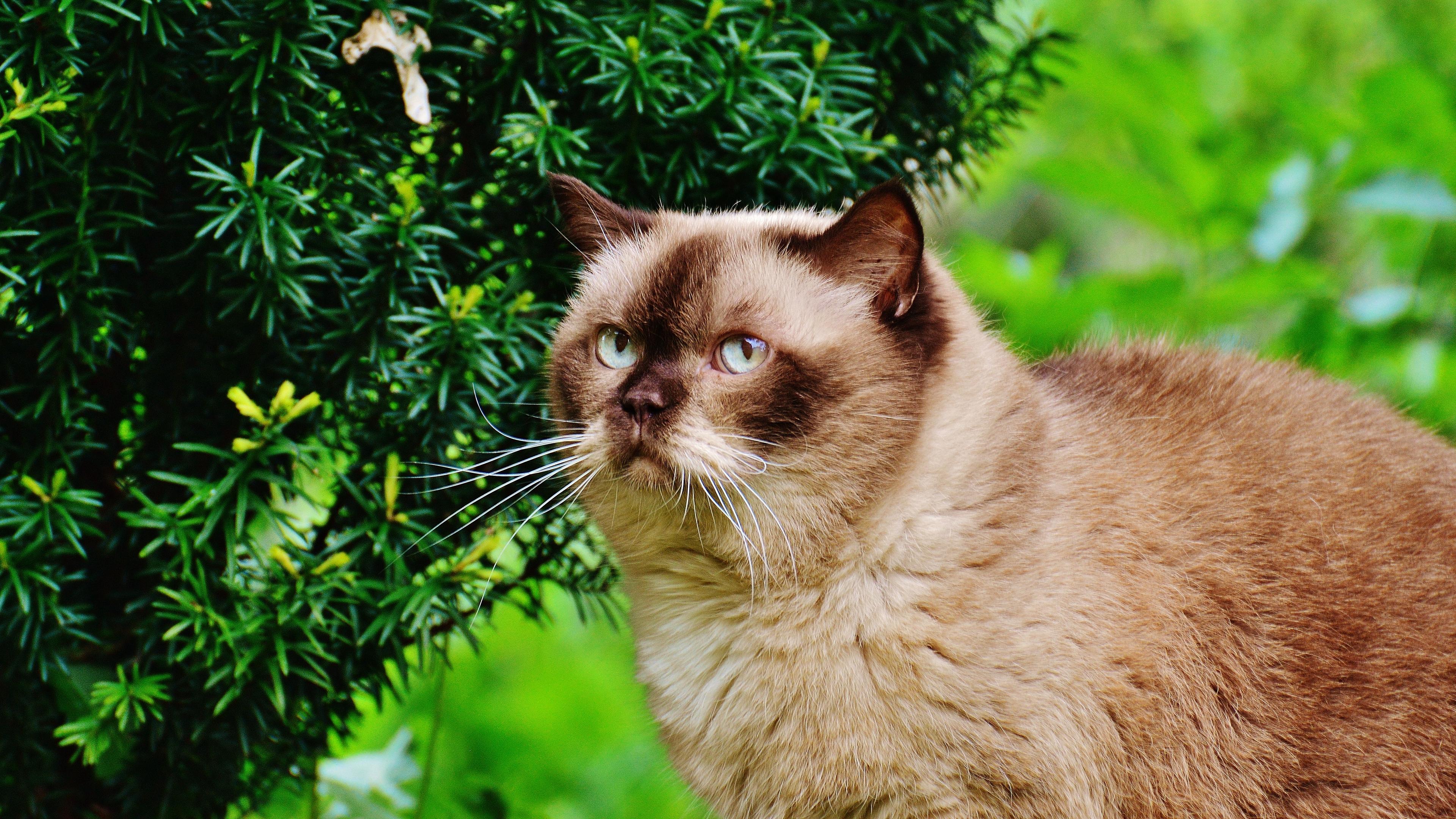 british shorthair cat cat branches 4k 1542242197 - british shorthair cat, cat, branches 4k - Cat, british shorthair cat, branches
