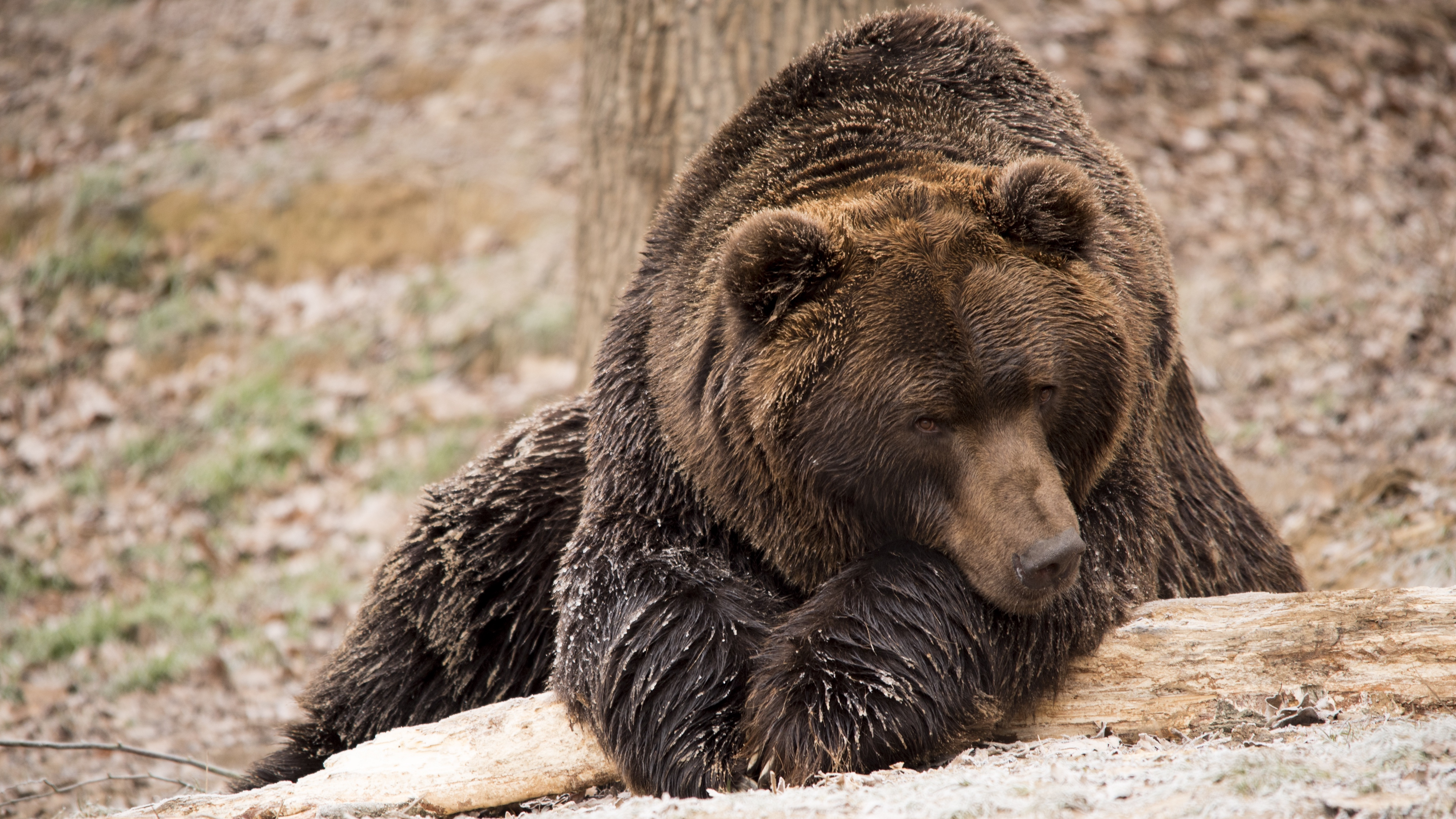 brown bear bear lies 4k 1542242971 - brown bear, bear, lies 4k - lies, brown bear, Bear