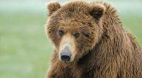 brown bear nose hair wet 4k 1542242285 200x110 - brown bear, nose, hair, wet 4k - nose, hair, brown bear