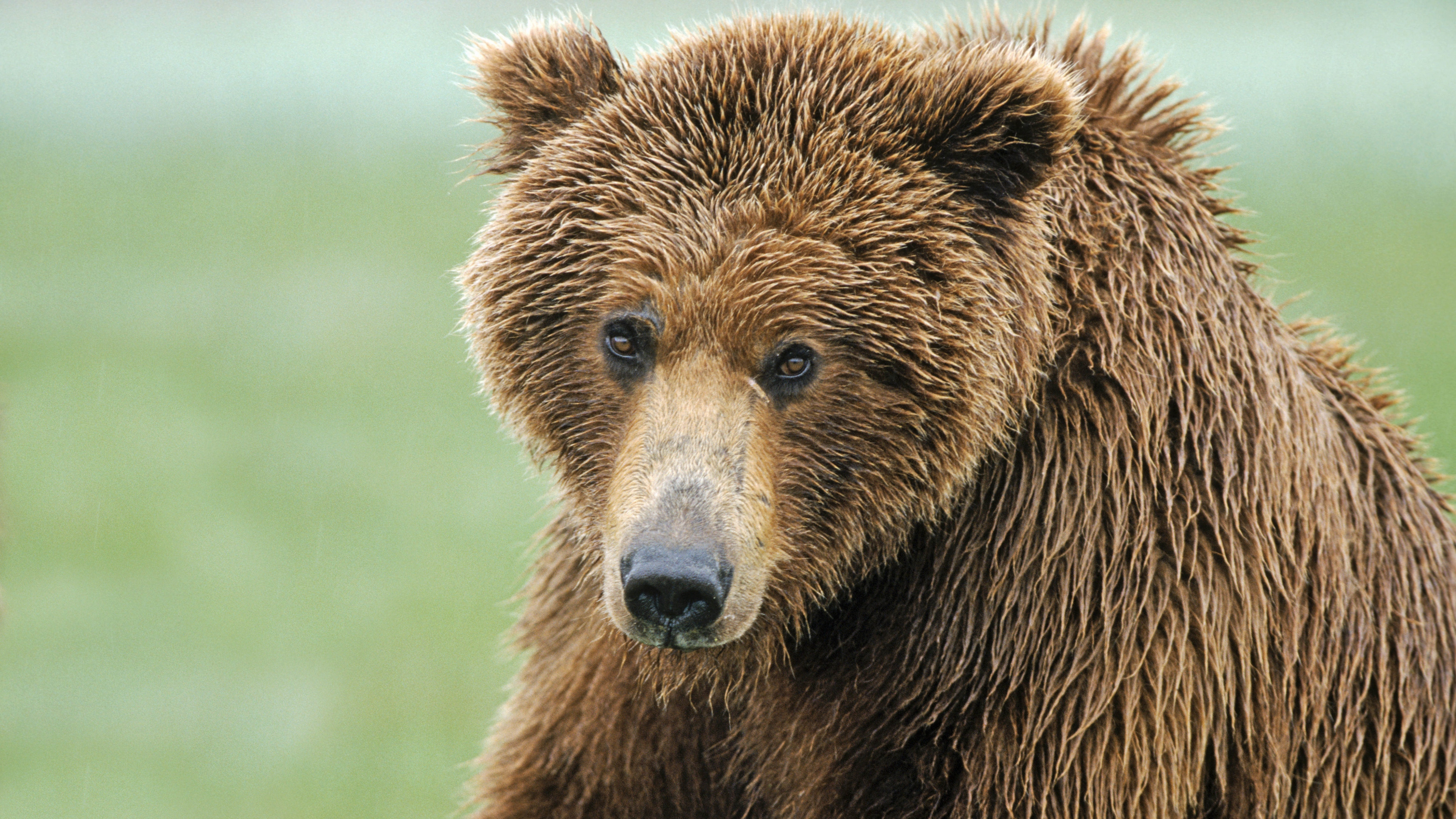 brown bear nose hair wet 4k 1542242285 - brown bear, nose, hair, wet 4k - nose, hair, brown bear