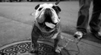 bull dog 4k 1542237852 200x110 - Bull Dog 4k - dog wallpapers, bull dog wallpapers, animals wallpapers