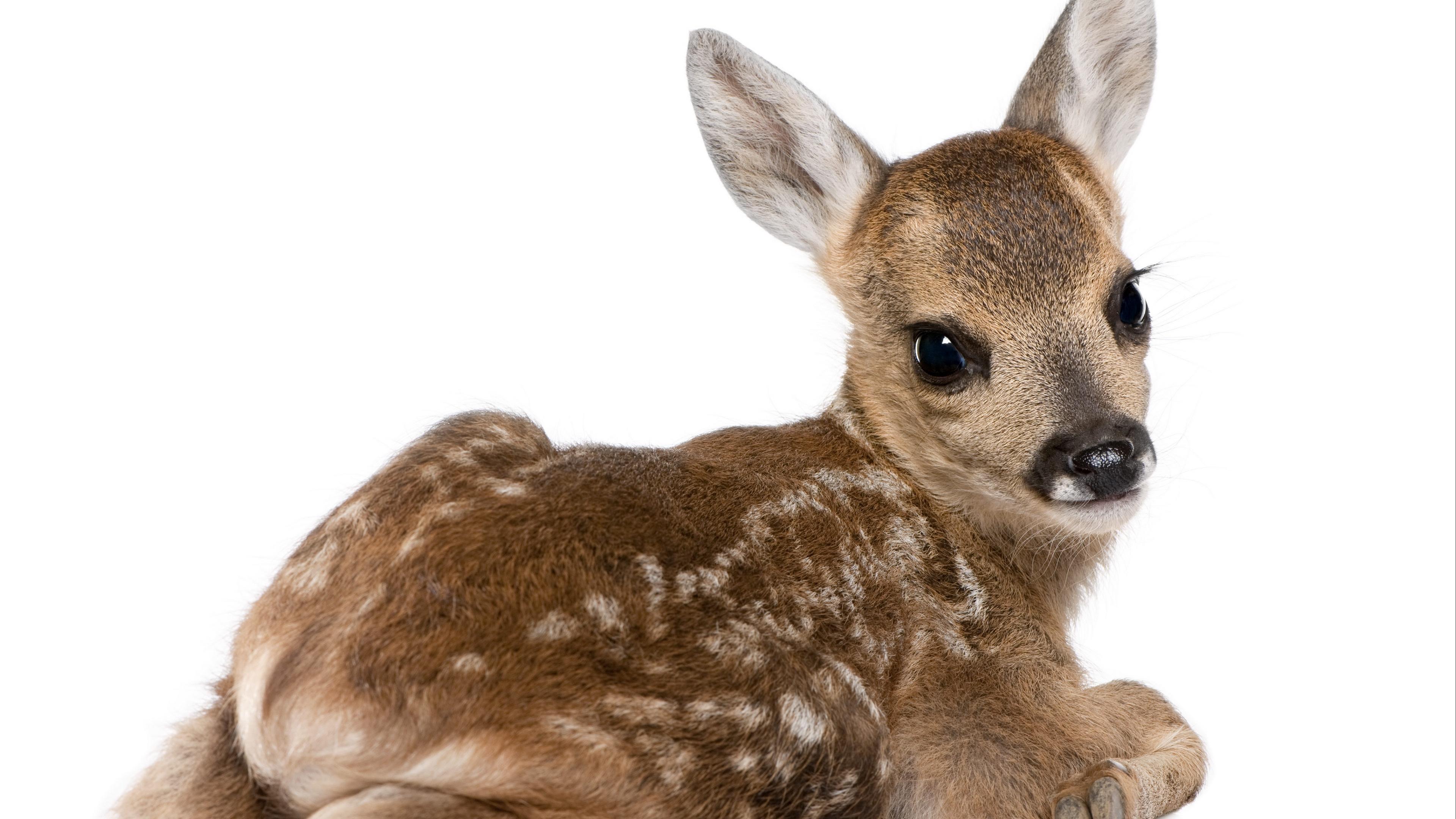calf deer white background 4k 1542242207 - calf, deer, white background 4k - white background, Deer, calf