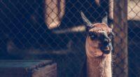camel muzzle look 4k 1542241538 200x110 - camel, muzzle, look 4k - muzzle, look, Camel
