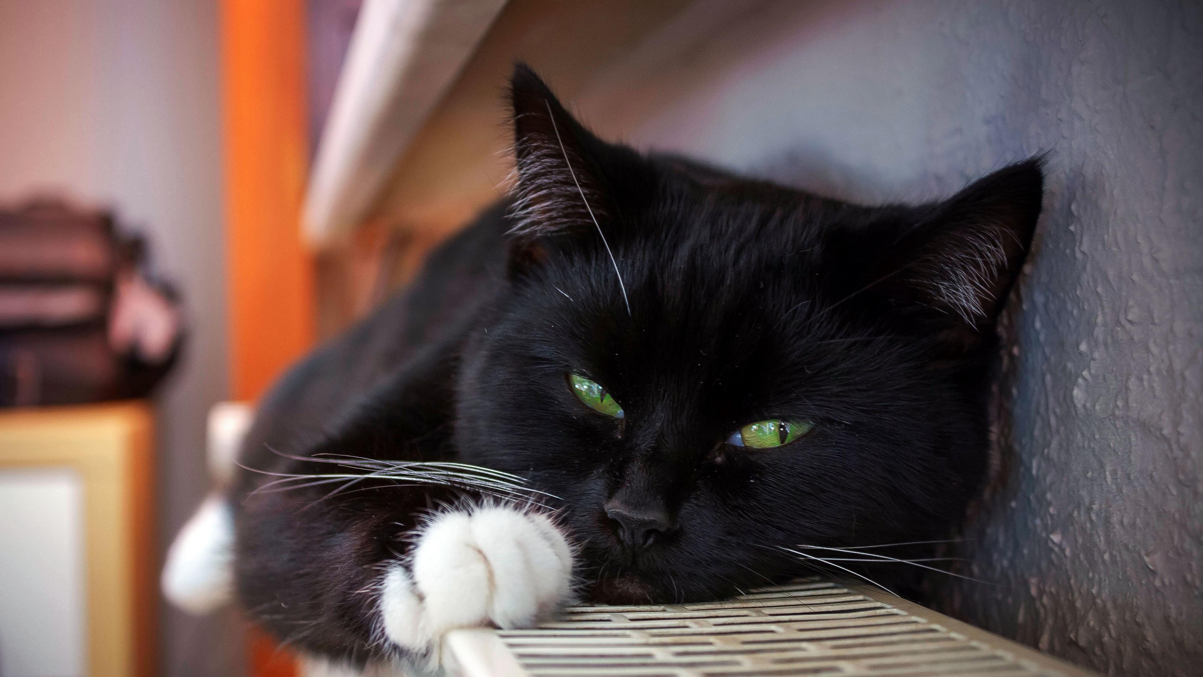 cat black lying spotted whiskers 4k 1542242744 - cat, black, lying, spotted, whiskers 4k - Lying, Cat, Black