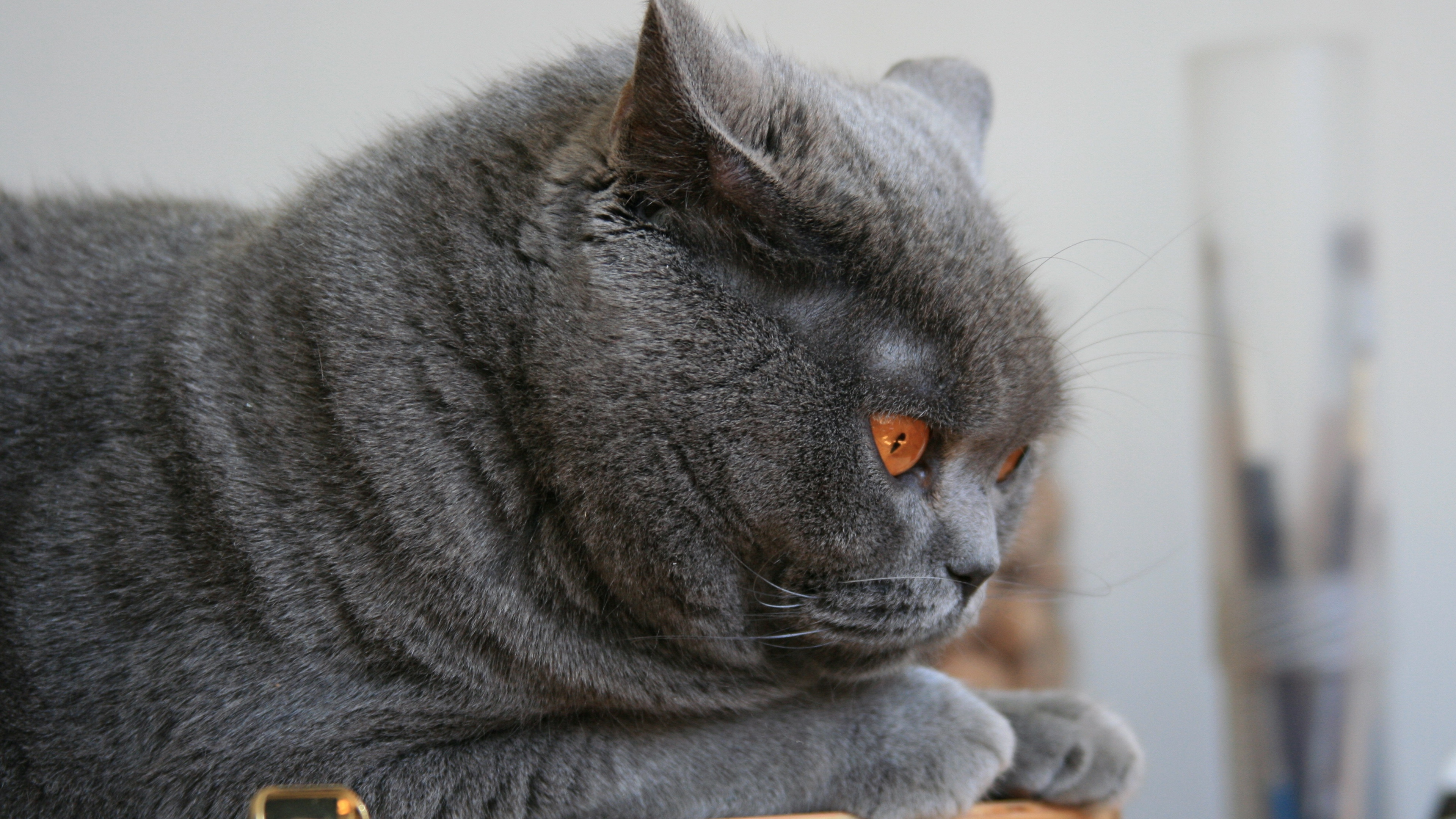 cat briton lie face 4k 1542242648 - cat, briton, lie, face 4k - lie, Cat, briton