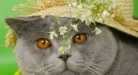cat face briton hat flowers 4k 1542242203 200x110 - cat, face, briton, hat, flowers 4k - Face, Cat, briton