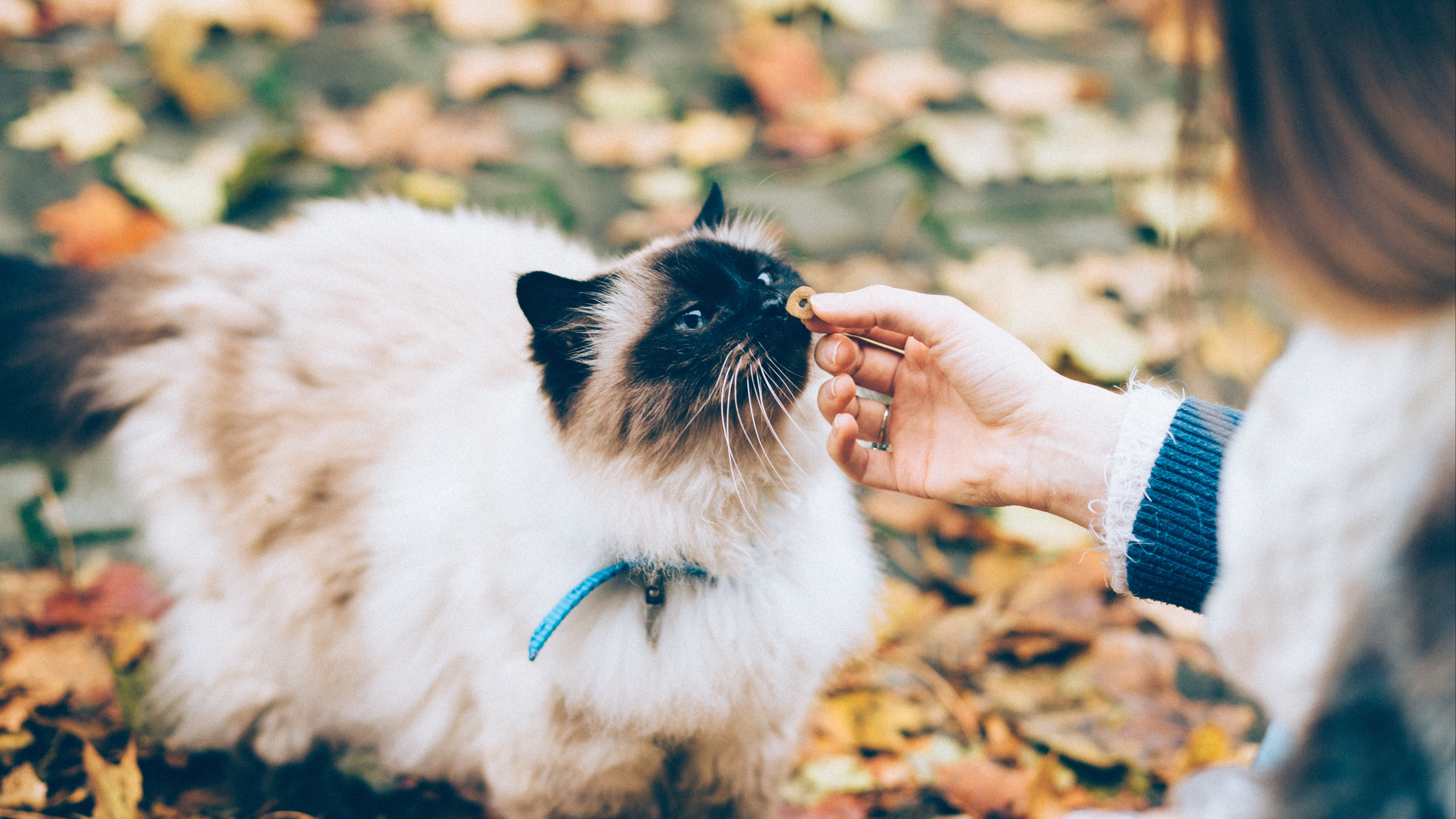 cat fluffy hand care 4k 1542242046 - cat, fluffy, hand, care 4k - hand, fluffy, Cat