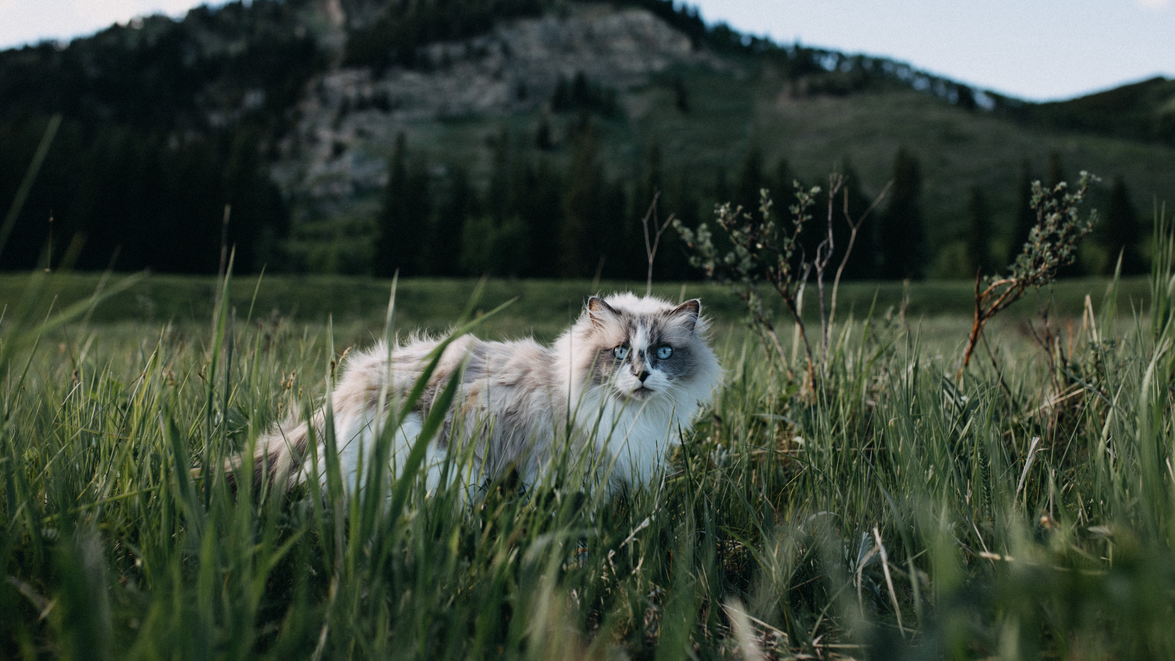 cat furry walk grass 4k 1542241403 - cat, furry, walk, grass 4k - walk, furry, Cat