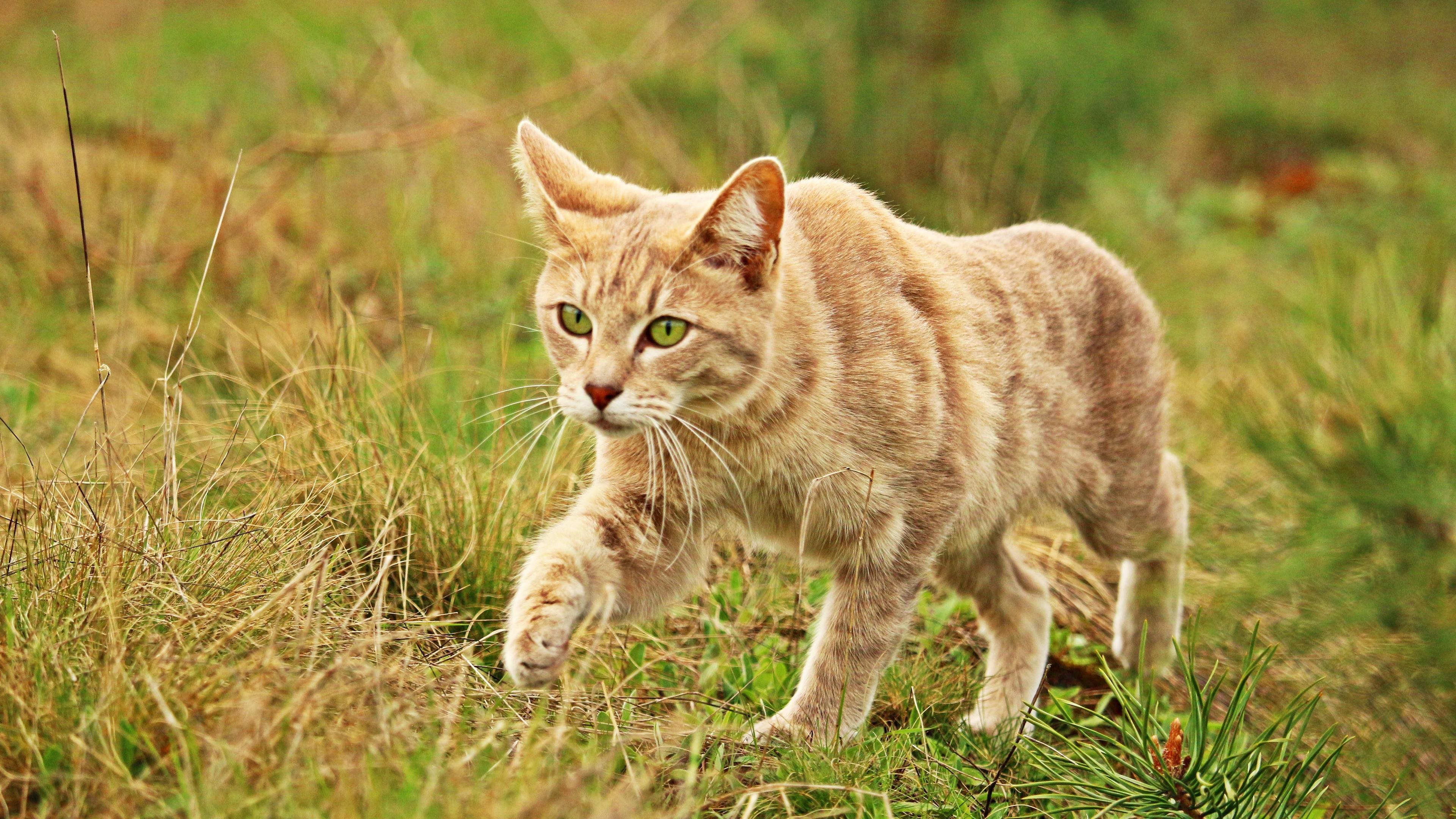 cat grass walk 4k 1542241969 - cat, grass, walk 4k - walk, Grass, Cat
