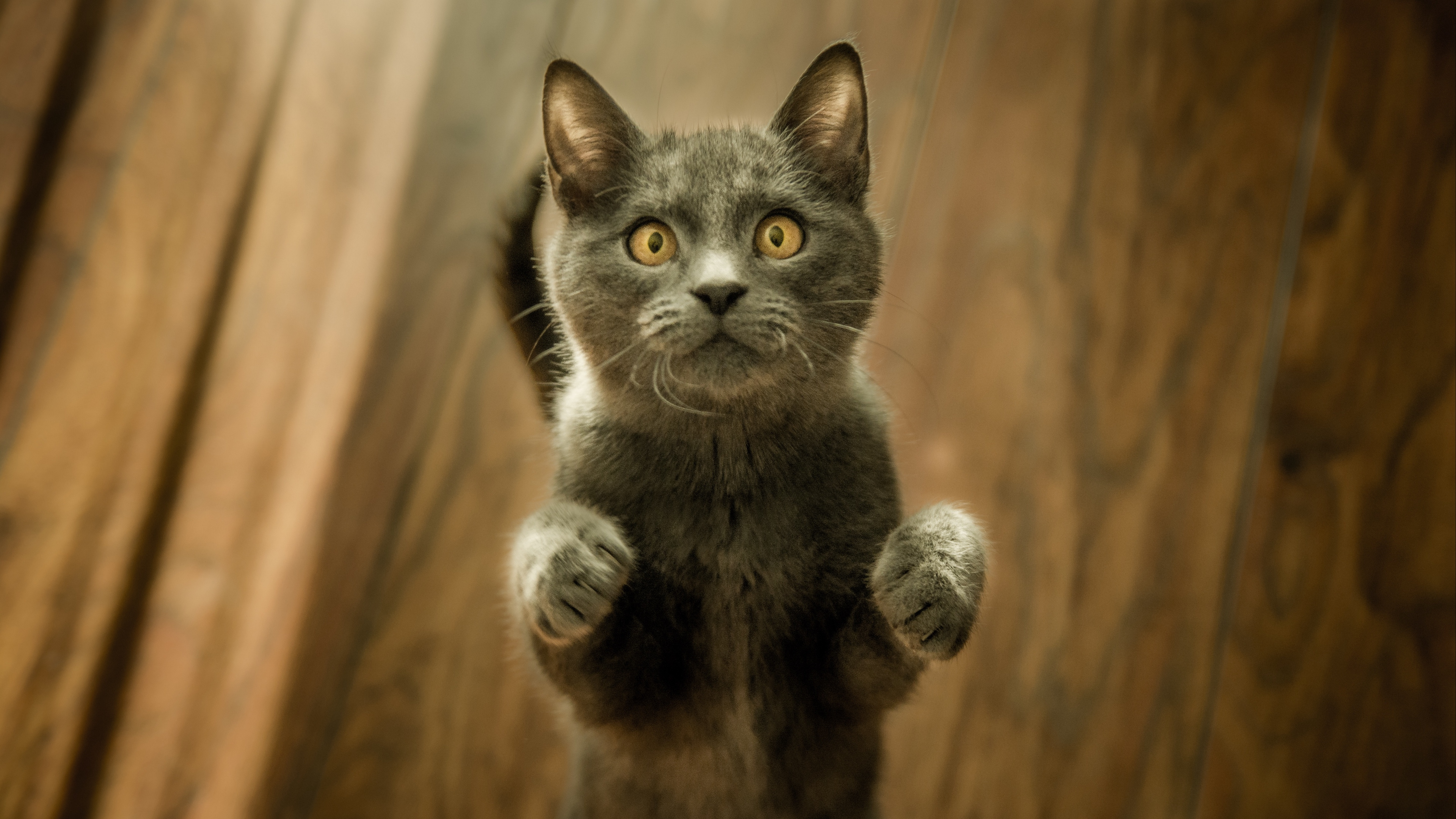 cat kitten standing gray 4k 1542241452 - cat, kitten, standing, gray 4k - Standing, Kitten, Cat