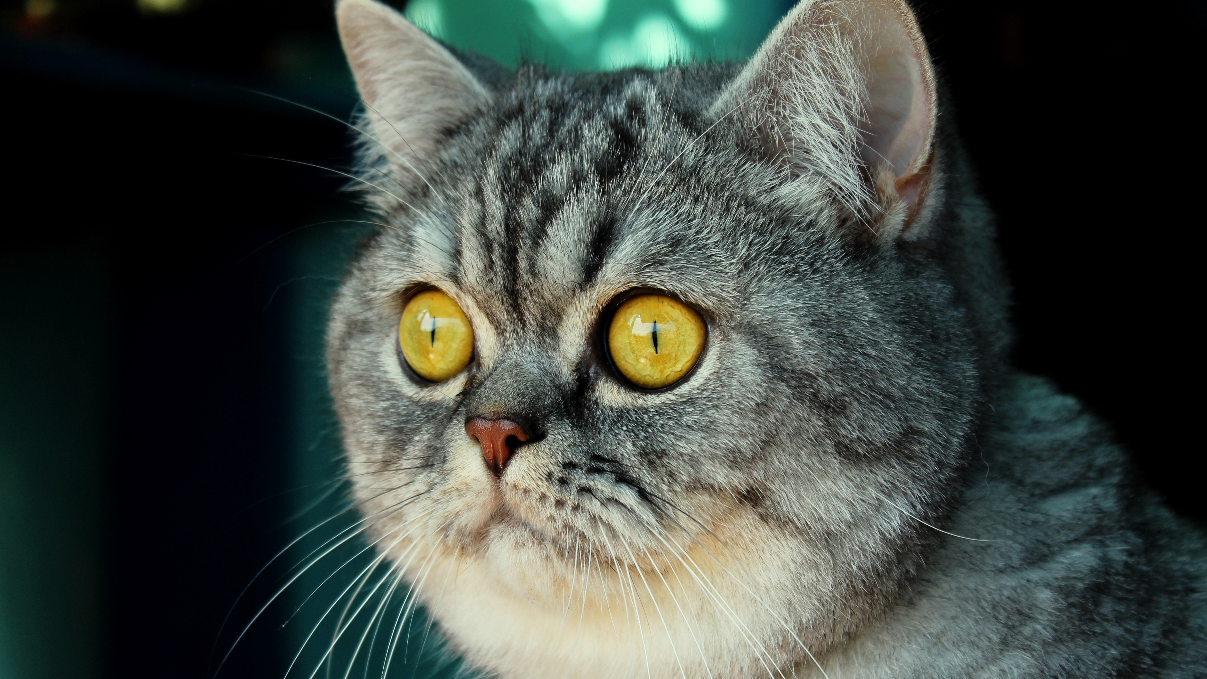 cat muzzle fear striped look 4k 1542241693 - cat, muzzle, fear, striped, look 4k - muzzle, fear, Cat