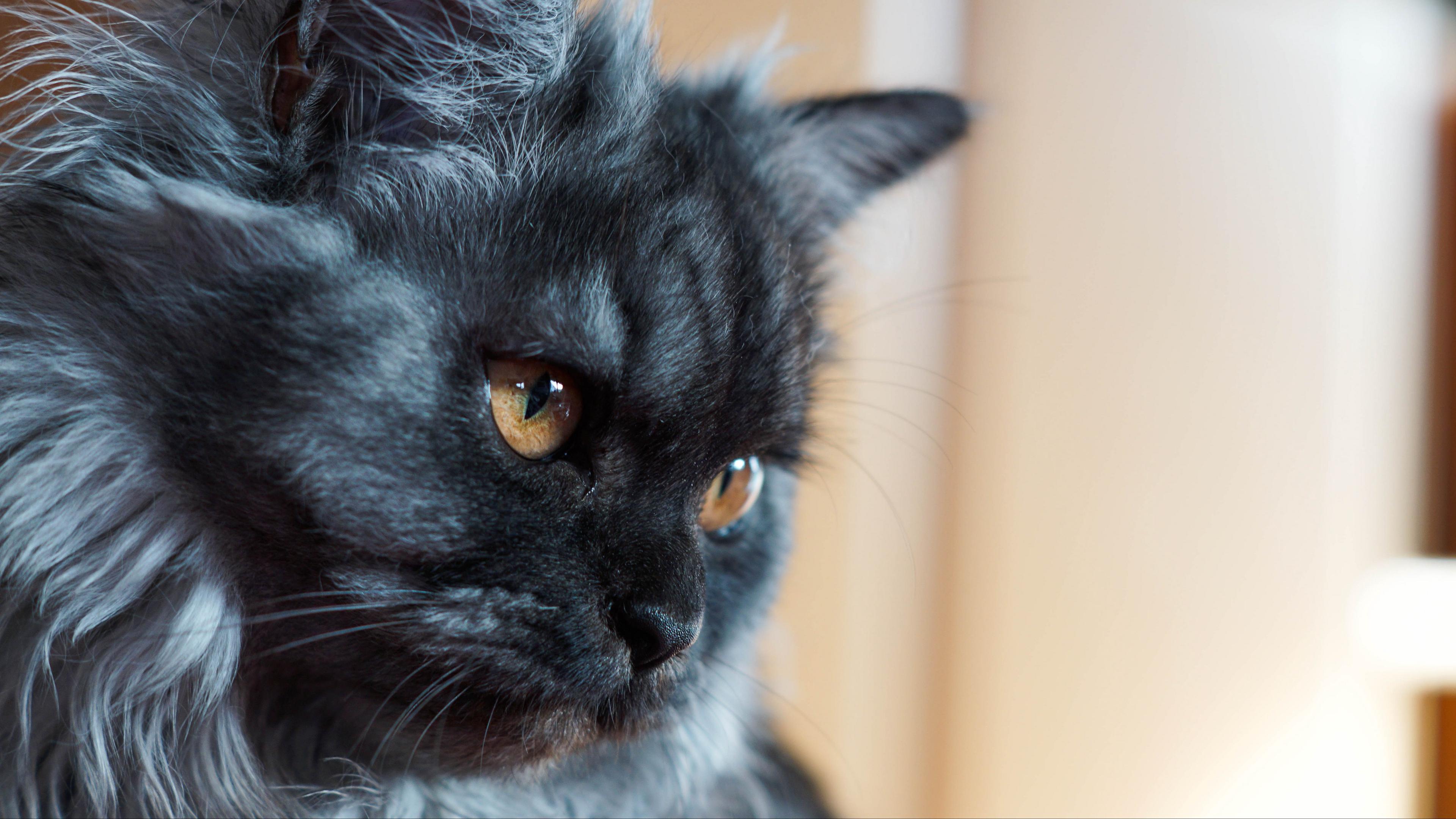 cat muzzle fluffy 4k 1542241536 - cat, muzzle, fluffy 4k - muzzle, fluffy, Cat