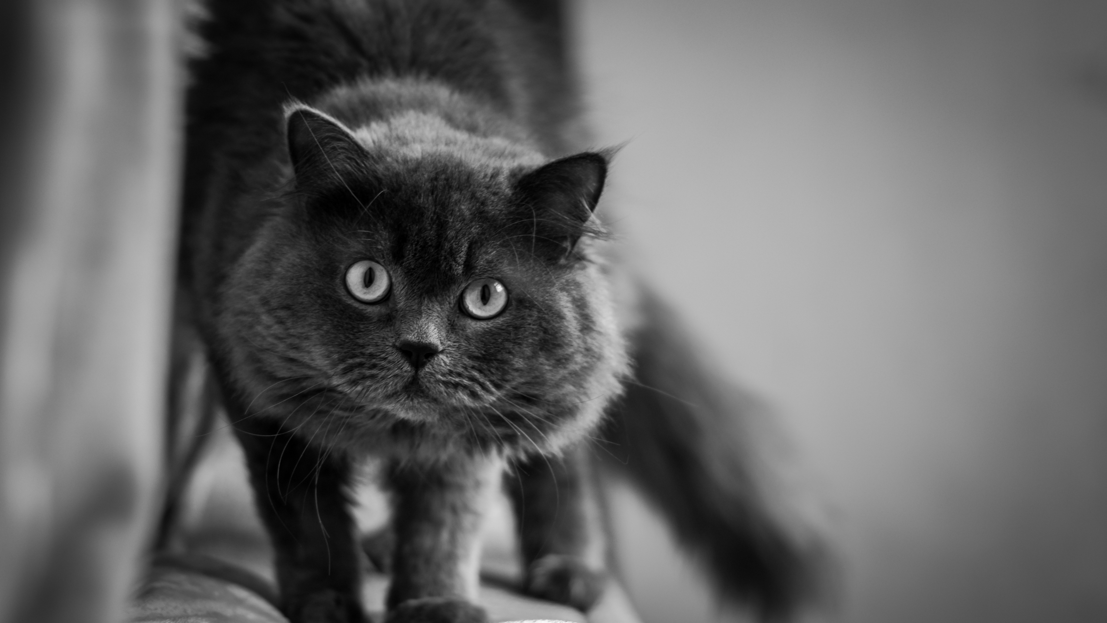 cat muzzle fluffy eyes bw 4k 1542241965 - cat, muzzle, fluffy, eyes, bw 4k - muzzle, fluffy, Cat