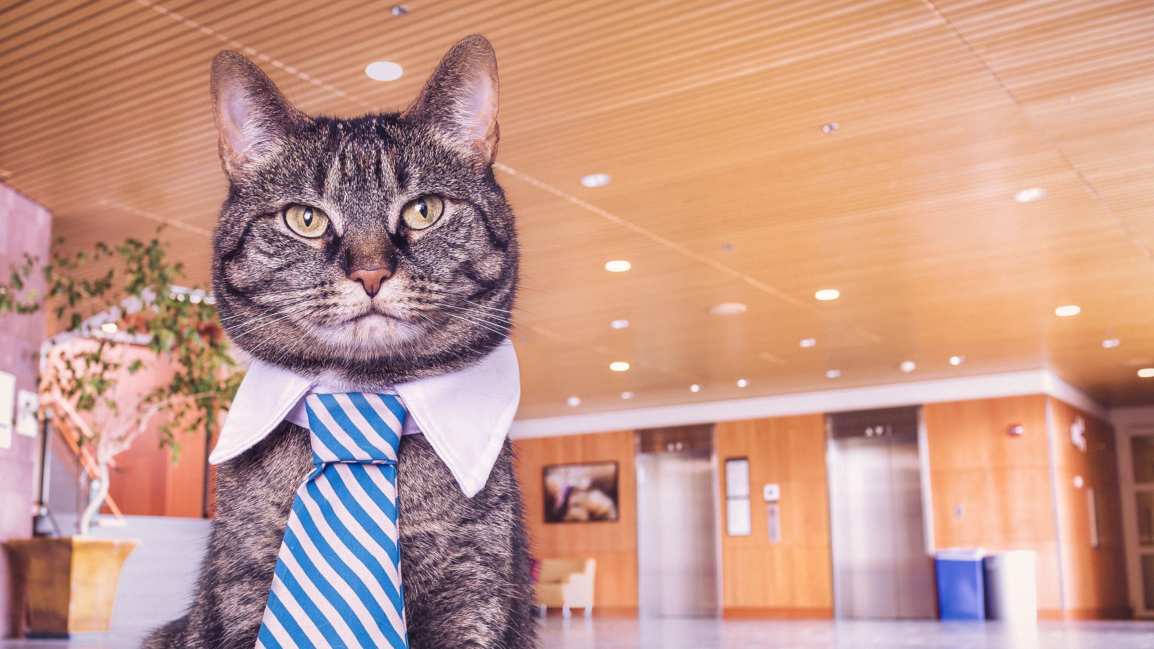 cat muzzle tie 4k 1542241457 - cat, muzzle, tie 4k - tie, muzzle, Cat