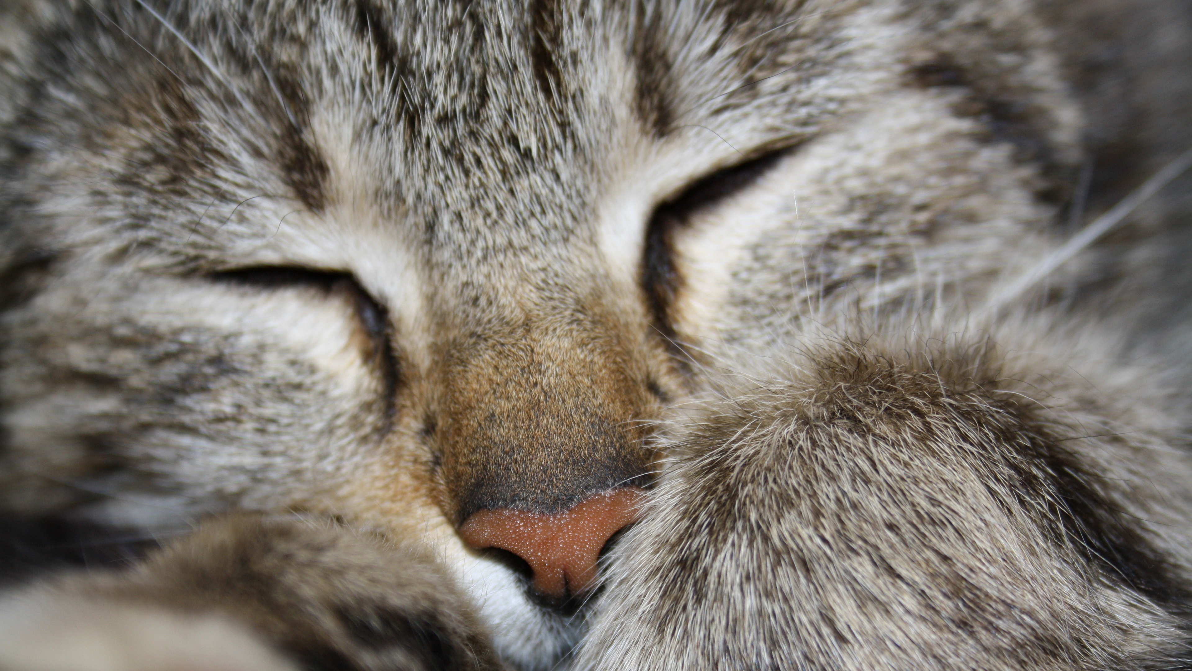 cat paw striped face 4k 1542241690 - cat, paw, striped, face 4k - striped, paw, Cat