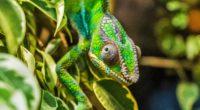 chameleon lizard reptile 4k 1542241505 200x110 - chameleon, lizard, reptile 4k - reptile, Lizard, Chameleon