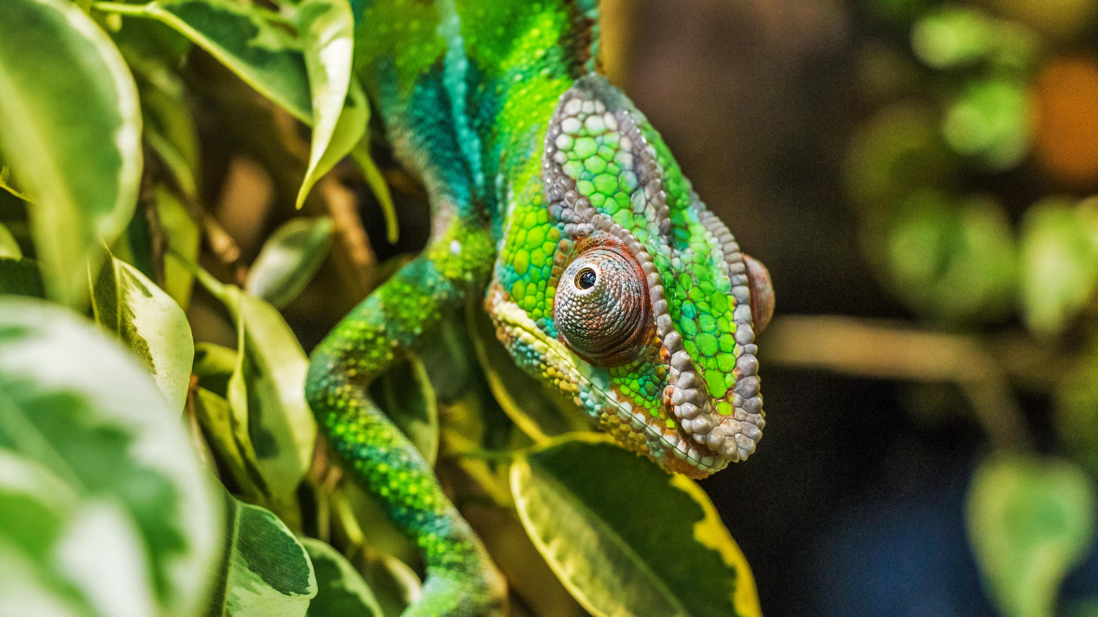 chameleon lizard reptile 4k 1542241505 - chameleon, lizard, reptile 4k - reptile, Lizard, Chameleon
