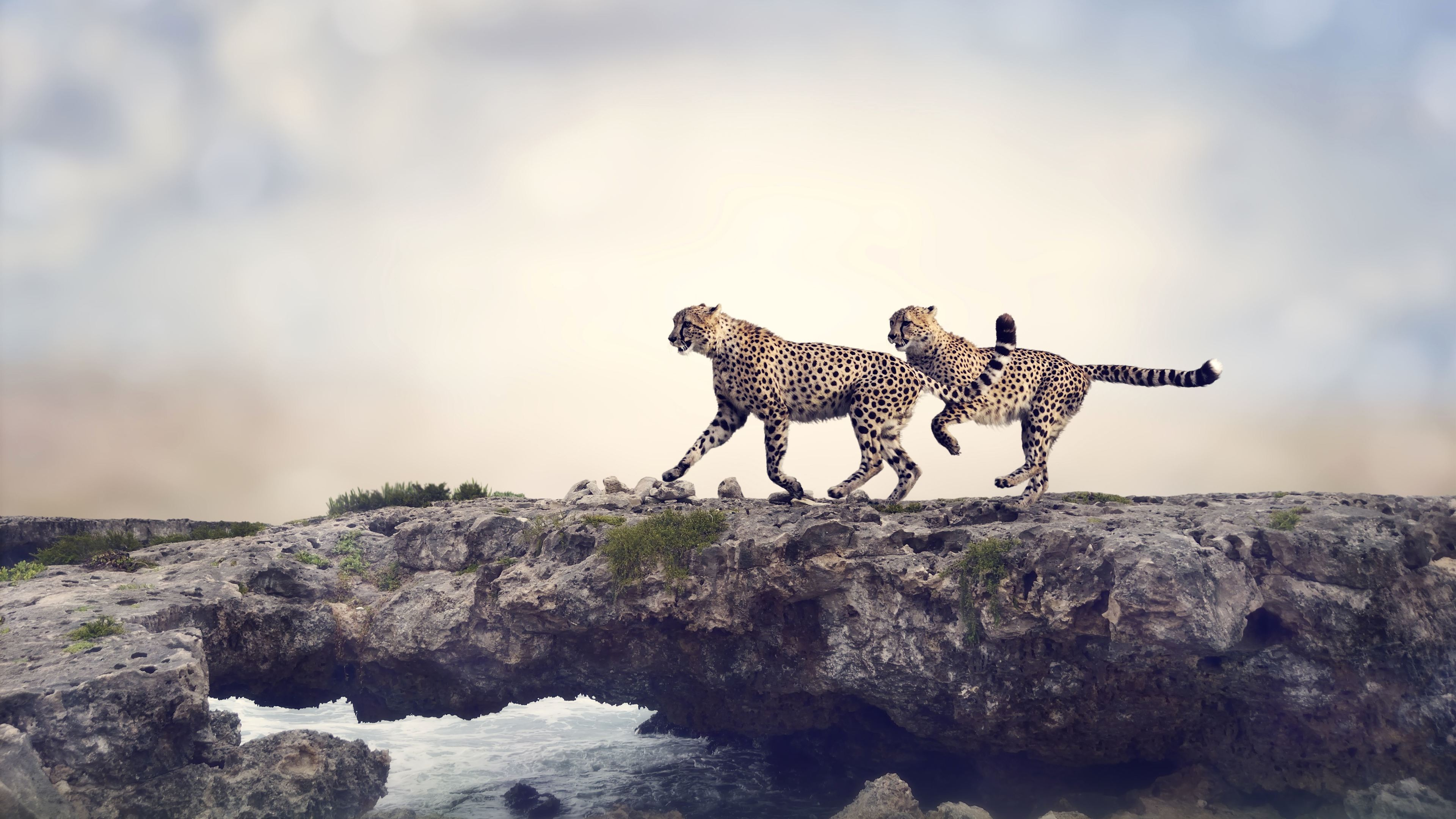 cheetah 4k 1542238028 - Cheetah 4k - photography wallpapers, cheetah wallpapers, animals wallpapers, 5k wallpapers