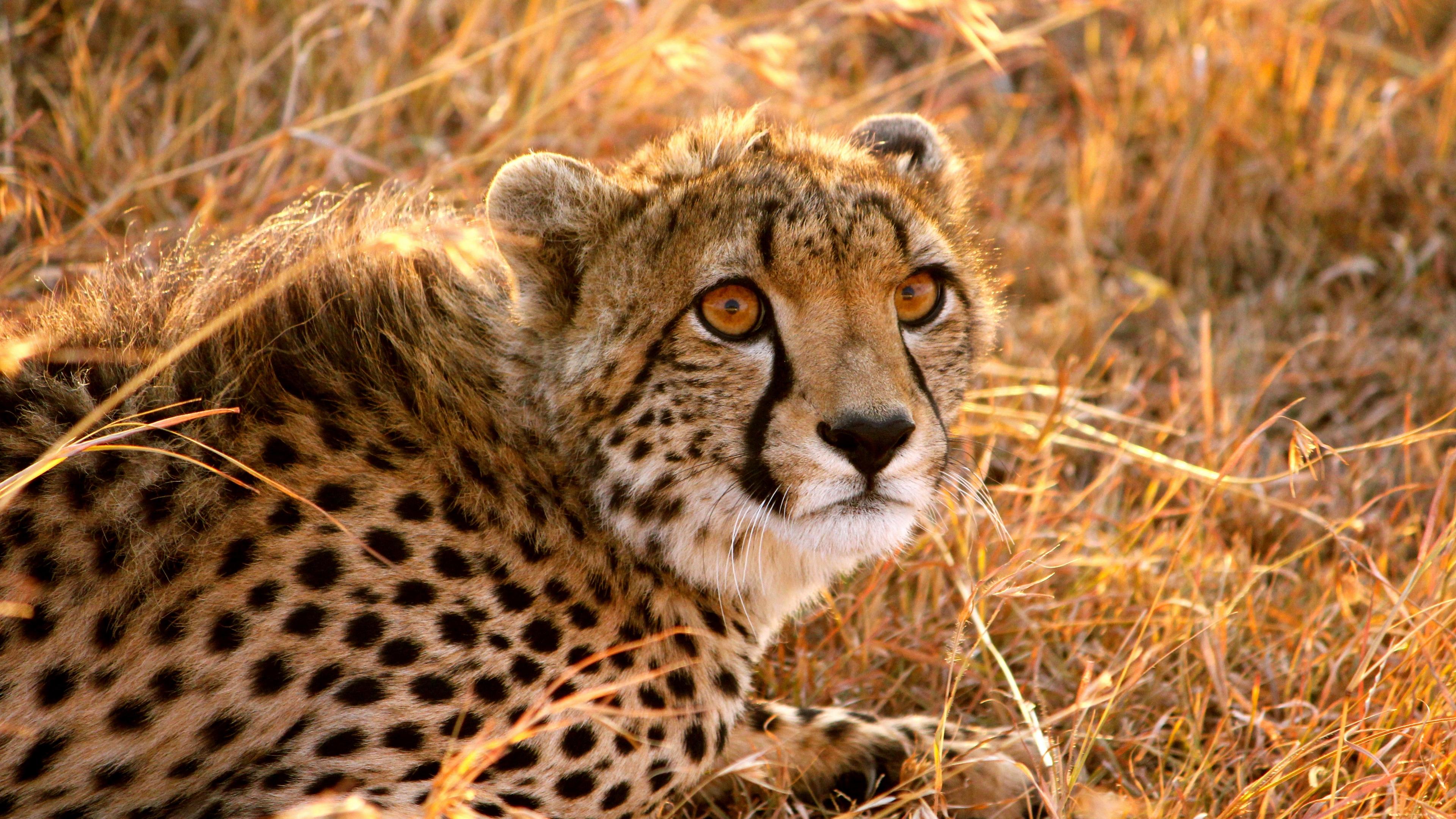 cheetah big cat fright lie 4k 1542242544 - cheetah, big cat, fright, lie 4k - fright, Cheetah, big cat