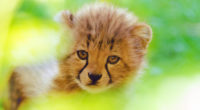 cheetah cute cub 4k 1542238785 200x110 - Cheetah Cute Cub 4k - hd-wallpapers, cub wallpapers, cheetah wallpapers, animals wallpapers, 4k-wallpapers