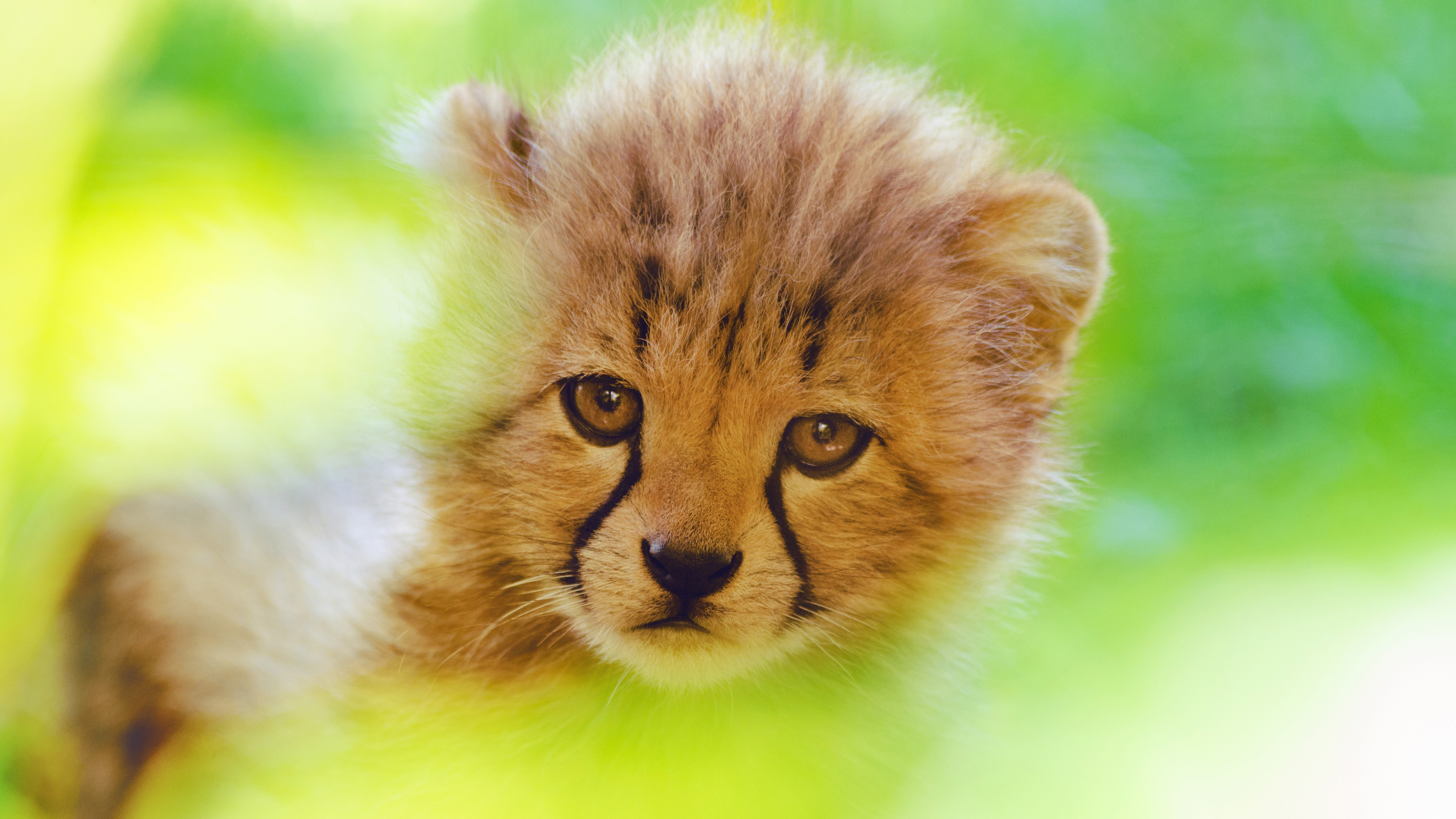 cheetah cute cub 4k 1542238785 - Cheetah Cute Cub 4k - hd-wallpapers, cub wallpapers, cheetah wallpapers, animals wallpapers, 4k-wallpapers