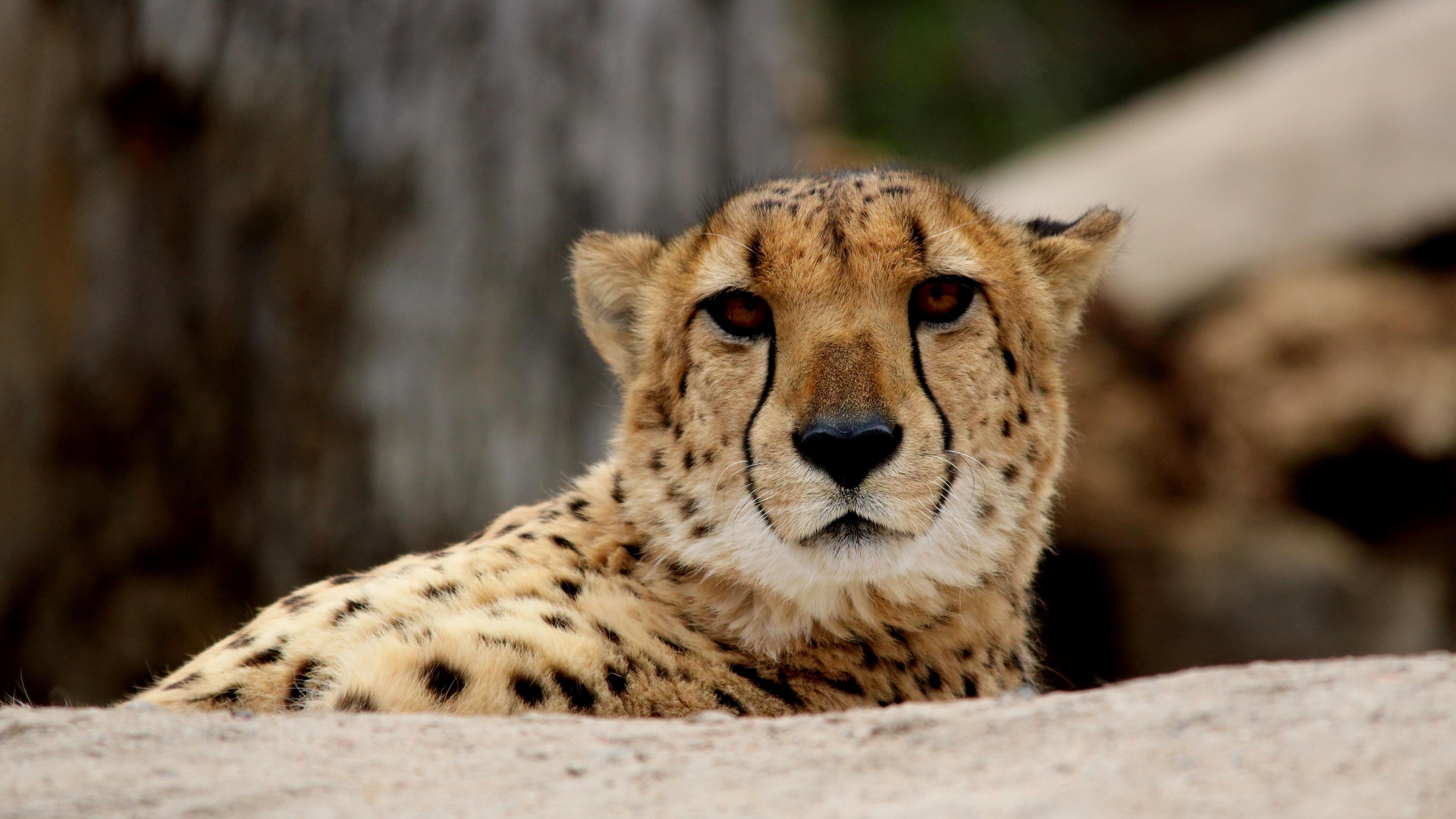 cheetah predator muzzle 4k 1542242450 - cheetah, predator, muzzle 4k - Predator, muzzle, Cheetah
