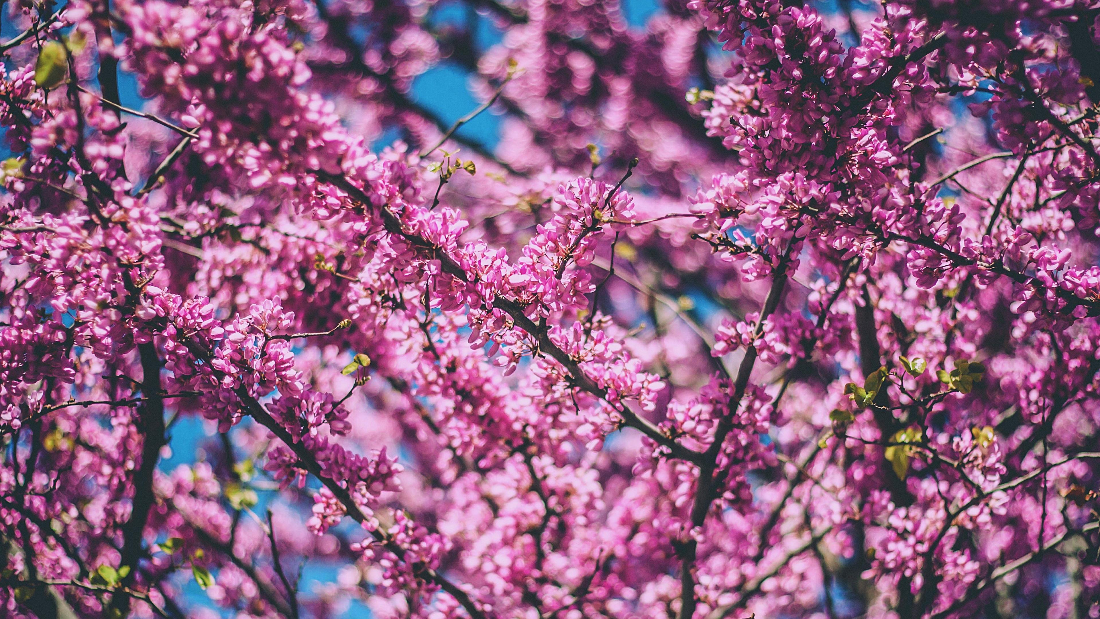 cherry tree flowers flowering spring 4k 1541114434 - cherry, tree, flowers, flowering, spring 4k - tree, Flowers, Cherry