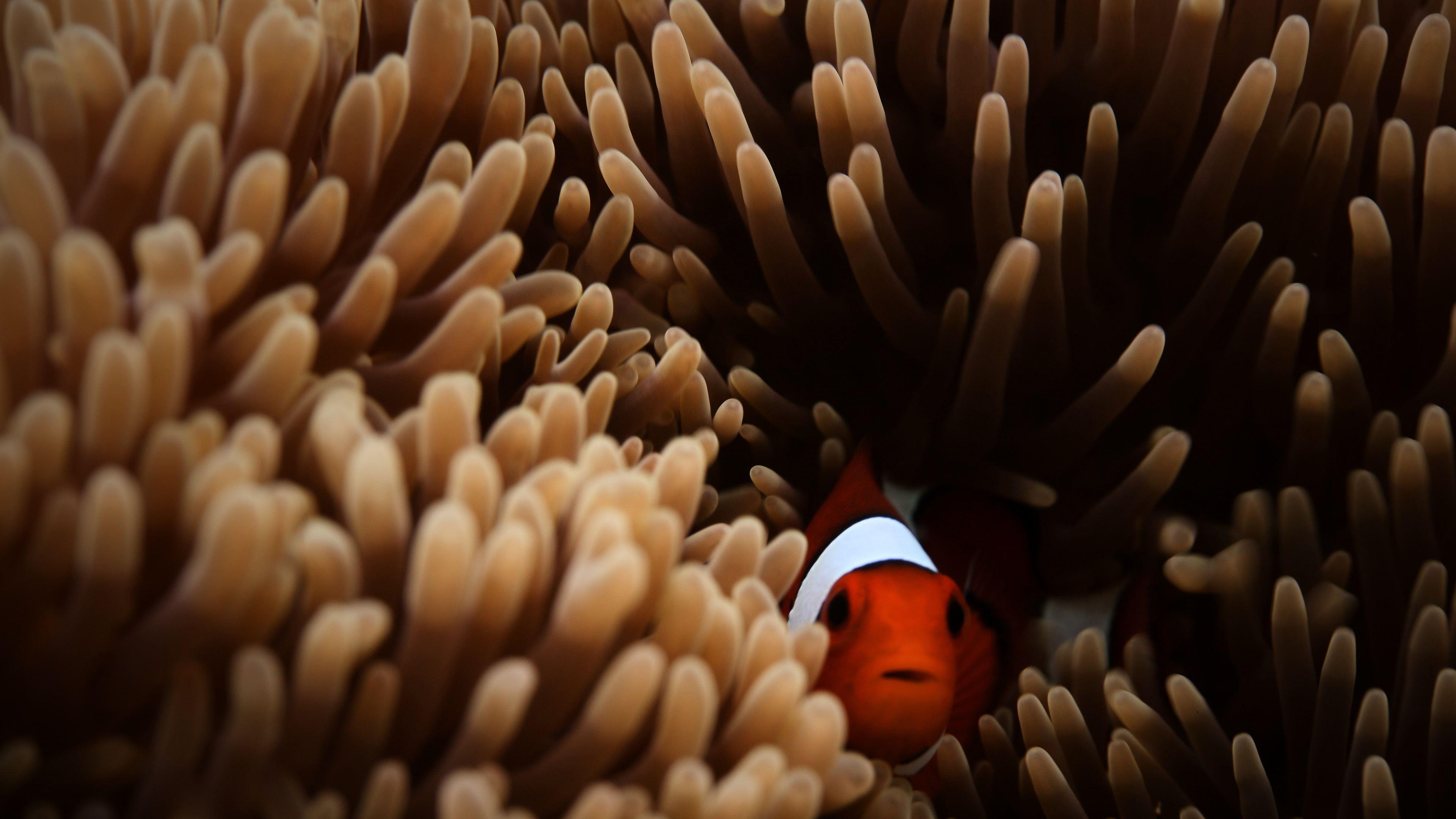 clownfish sea 4k 1542239627 - Clownfish Sea 4k - hd-wallpapers, fish wallpapers, clownfish wallpapers, animals wallpapers, 4k-wallpapers