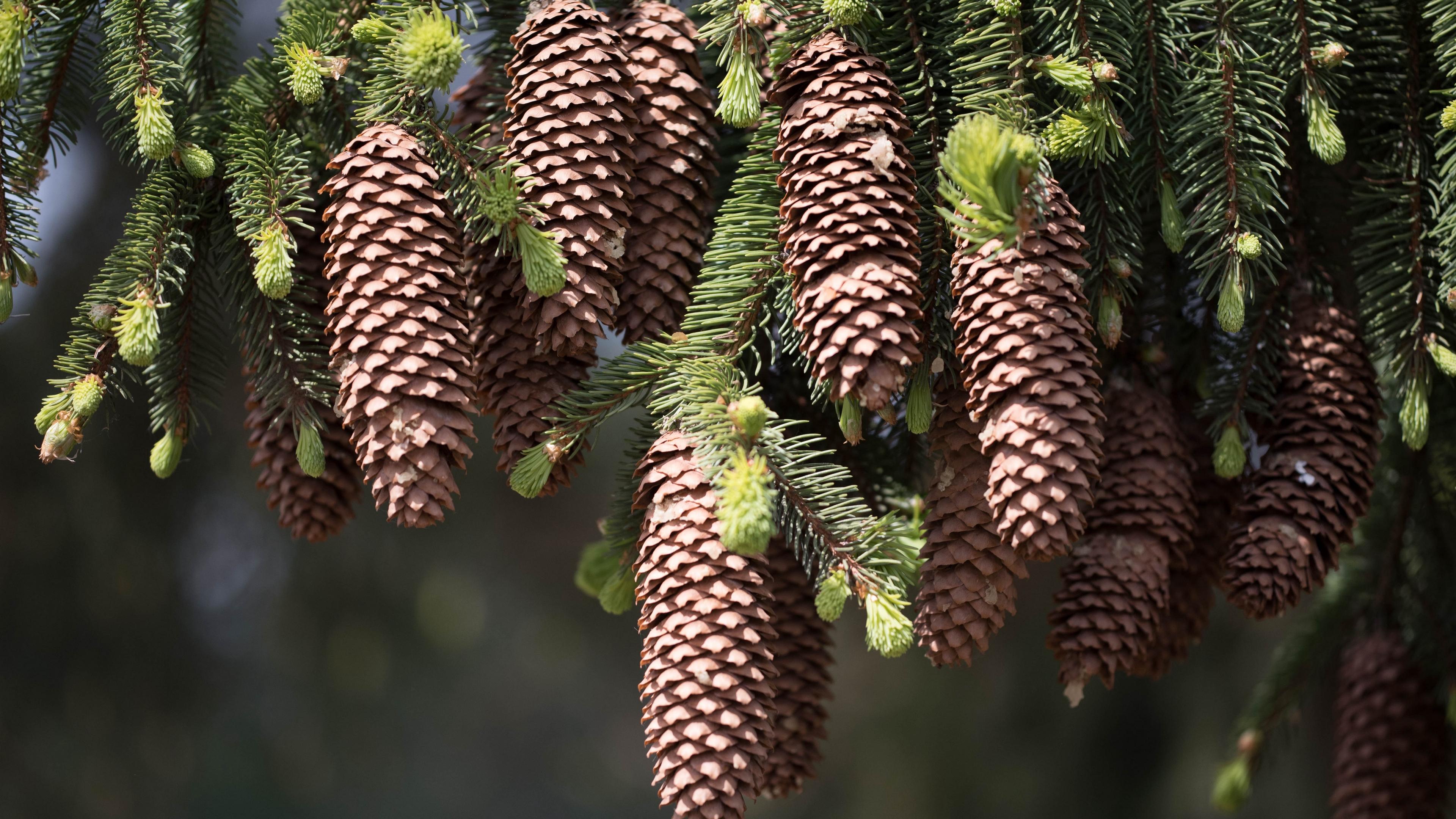 cones fir pine needles thorns twigs 4k 1541116152 - cones, fir, pine needles, thorns, twigs 4k - pine needles, fir, cones