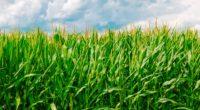 corn field summer farm 4k 1541117133 200x110 - corn, field, summer, farm 4k - Summer, Field, corn