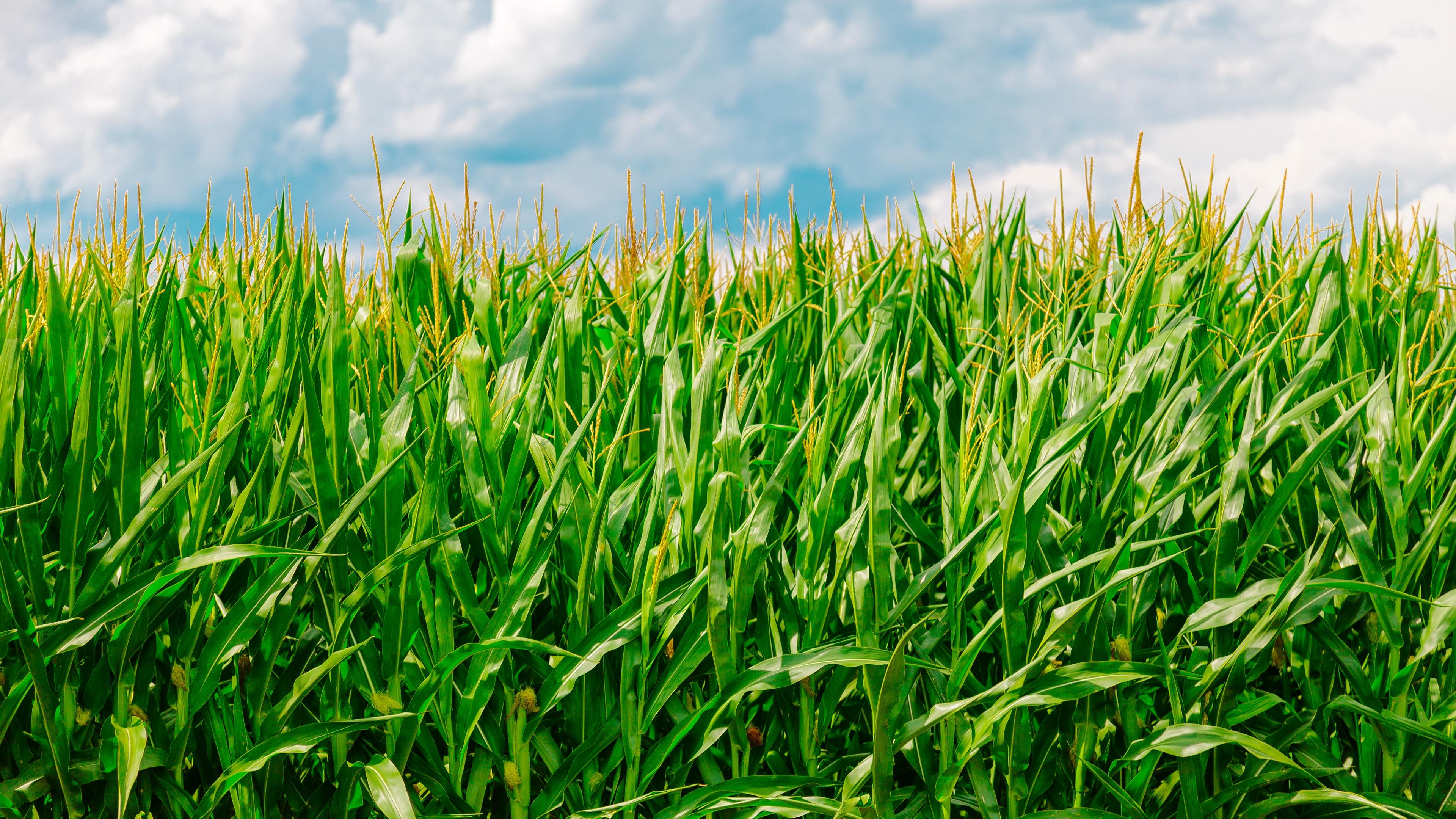 corn field summer farm 4k 1541117133 - corn, field, summer, farm 4k - Summer, Field, corn