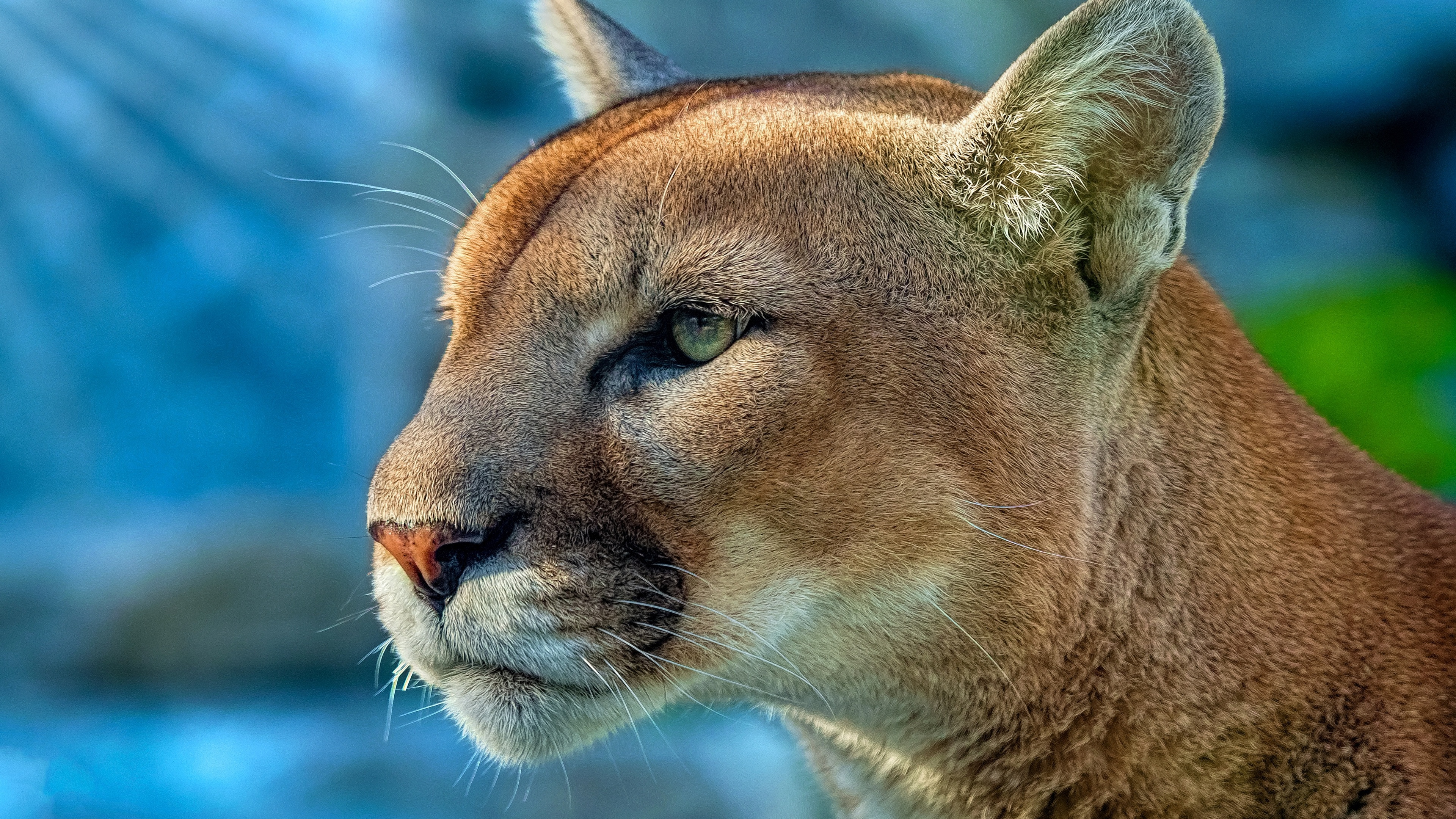 cougar 4k 1542238323 - Cougar 4k - wild wallpapers, predator wallpapers, hd-wallpapers, cougar wallpapers, animals wallpapers, 5k wallpapers, 4k-wallpapers
