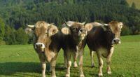 cows three bells lawn 4k 1542242118 200x110 - cows, three, bells, lawn 4k - Three, cows, bells