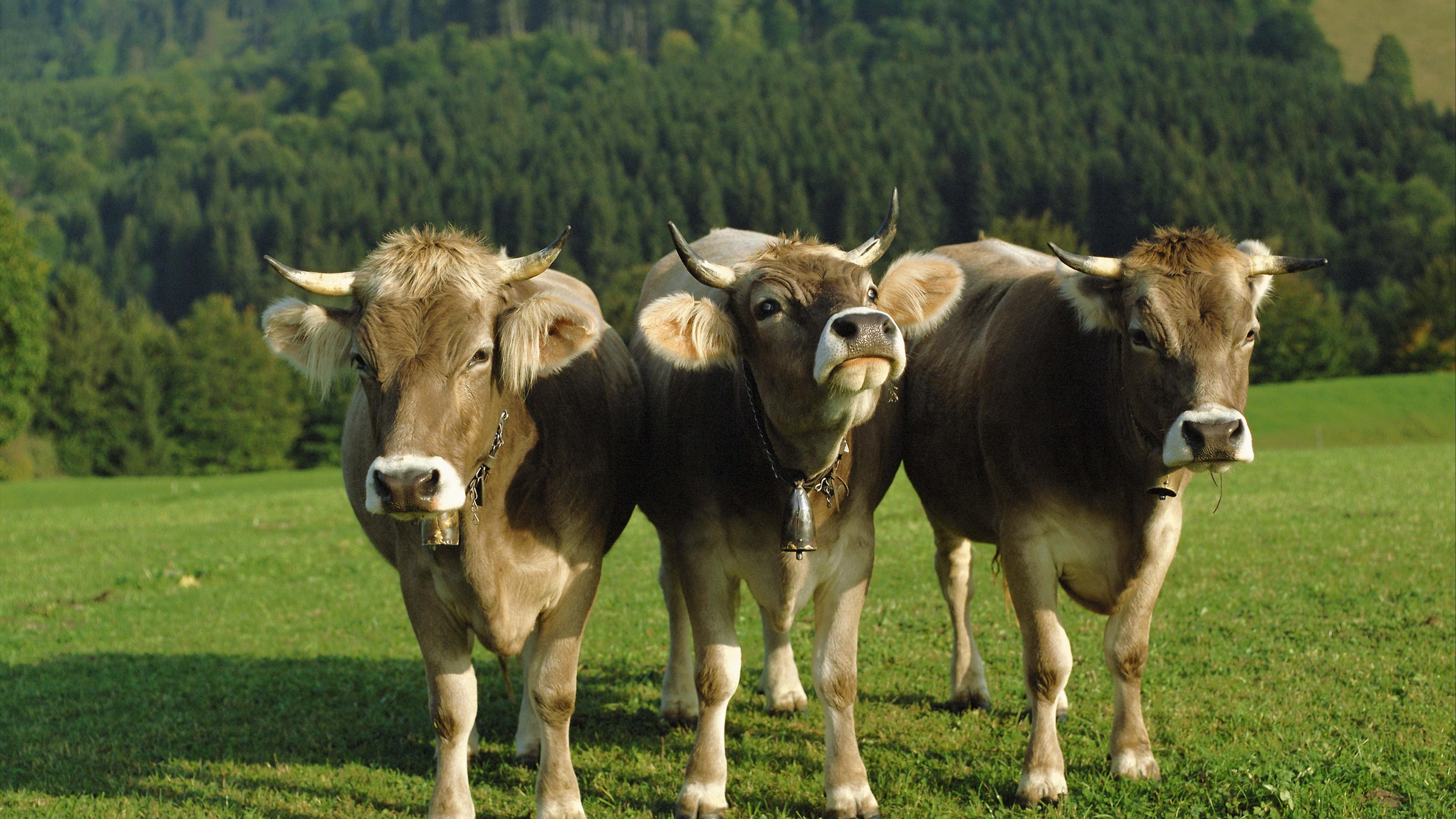 cows three bells lawn 4k 1542242118 - cows, three, bells, lawn 4k - Three, cows, bells