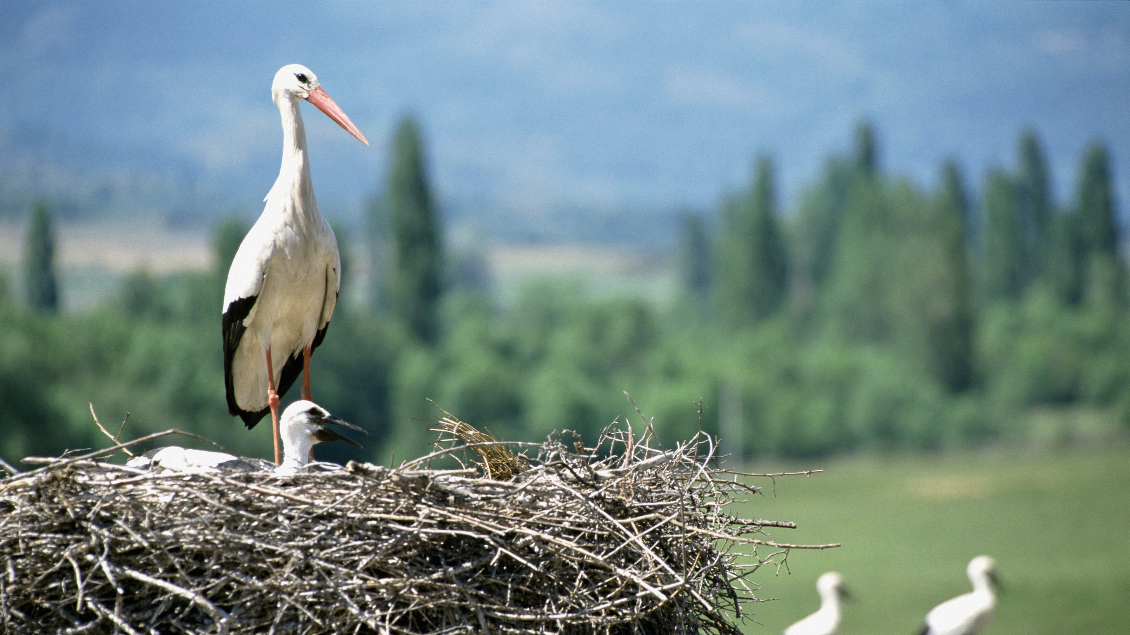 cranes chick nest 4k 1542241598 - cranes, chick, nest 4k - Nest, Cranes, chick