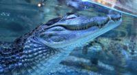 crocodile dream under water predator teeth 4k 1542241686 200x110 - crocodile, dream, under water, predator, teeth 4k - under water, Dream, crocodile
