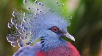crowned pigeon feathers beautiful head 4k 1542242386 200x110 - crowned pigeon, feathers, beautiful, head 4k - Feathers, crowned pigeon, Beautiful