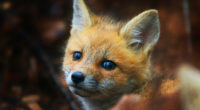 cute fox cub 4k 1542239619 200x110 - Cute Fox Cub 4k - hd-wallpapers, fox wallpapers, cub wallpapers, animals wallpapers, 4k-wallpapers