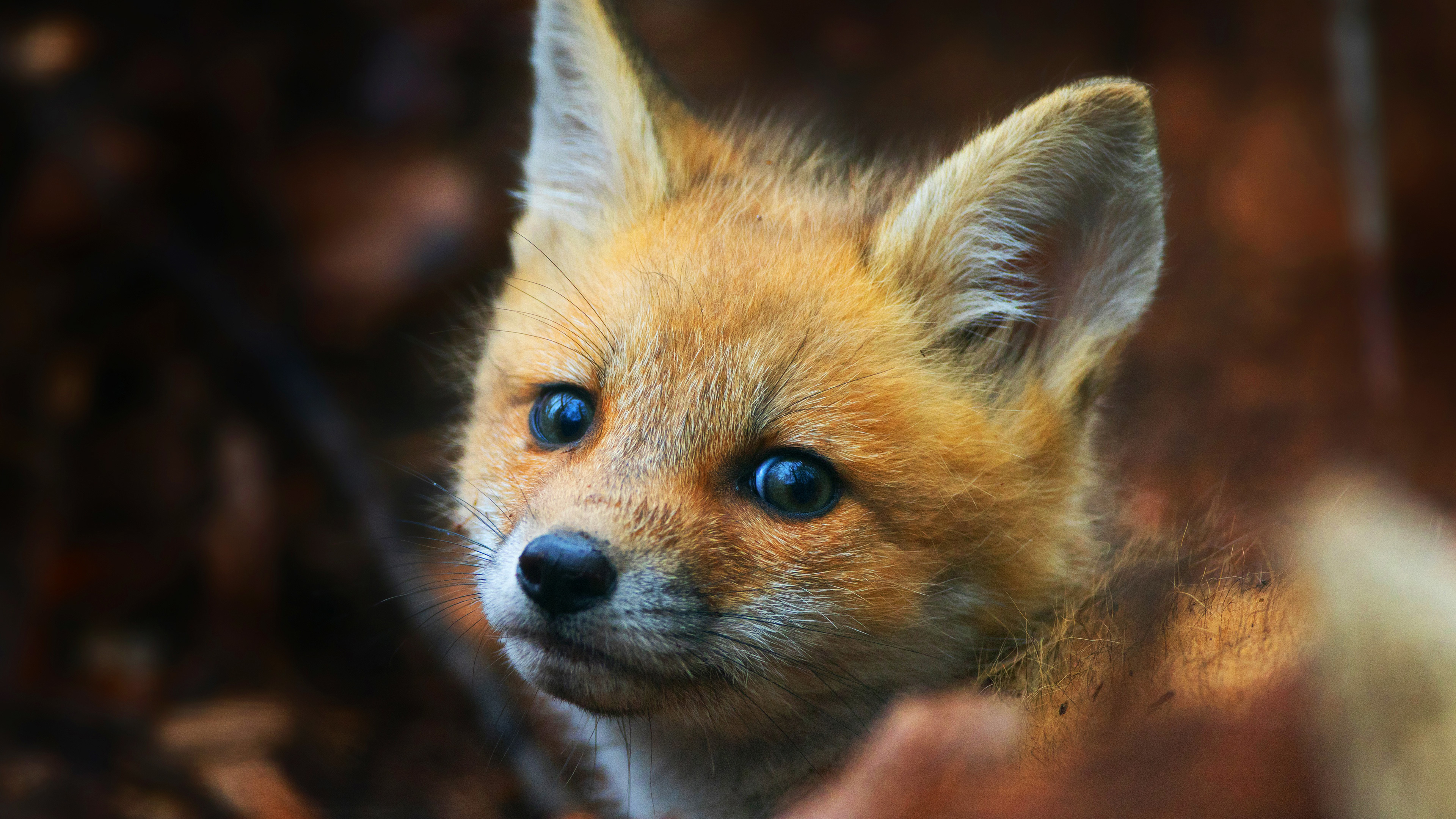 cute fox cub 4k 1542239619 - Cute Fox Cub 4k - hd-wallpapers, fox wallpapers, cub wallpapers, animals wallpapers, 4k-wallpapers