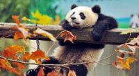 cute panda 4k 1542237734 200x110 - Cute Panda 4k - tree wallpapers, panda wallpapers, cute wallpapers, branch wallpapers, animals wallpapers