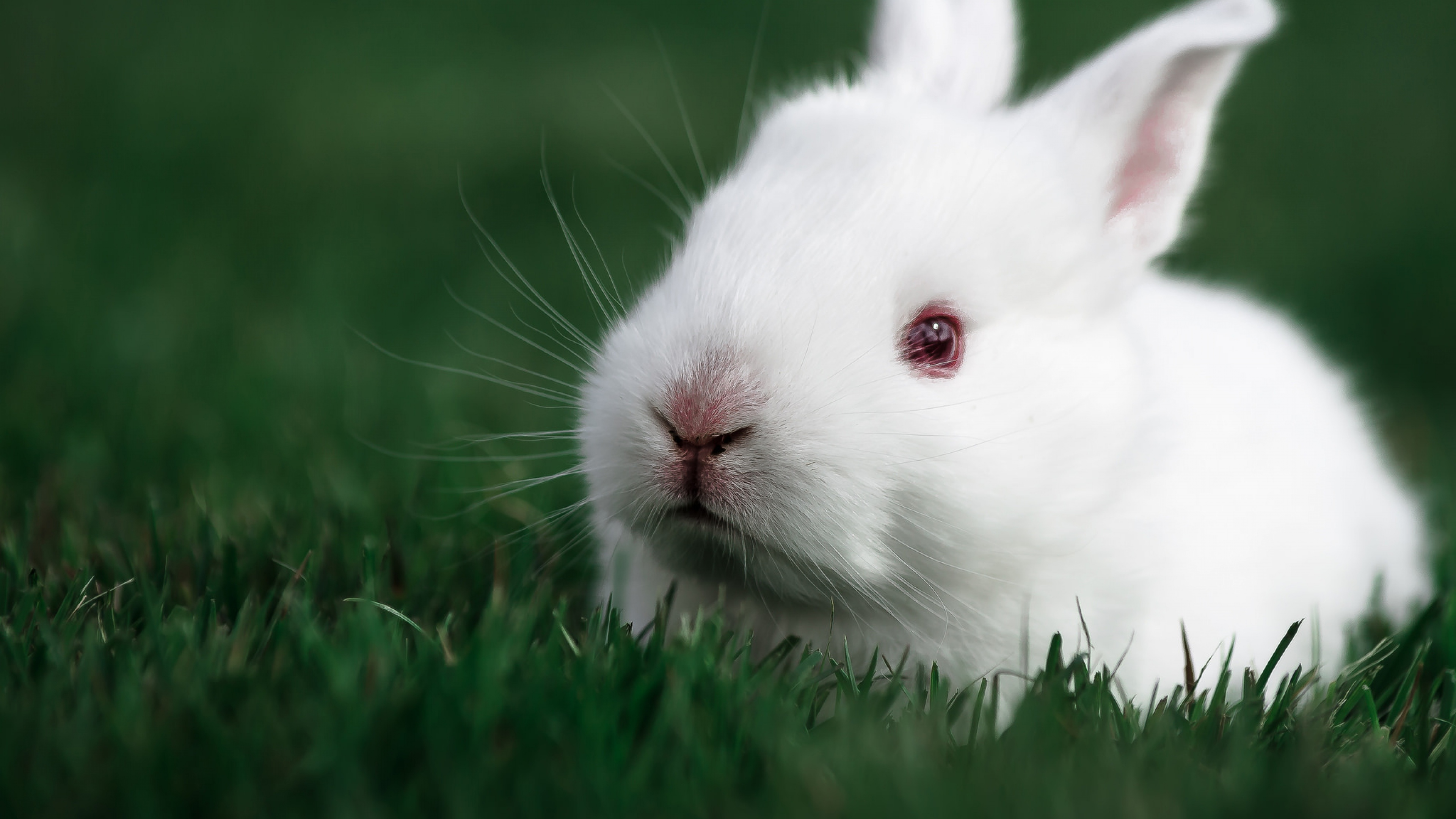 cute rabbit 4k 1542237755 - Cute Rabbit 4k - rabbit wallpapers, cute wallpapers, animals wallpapers
