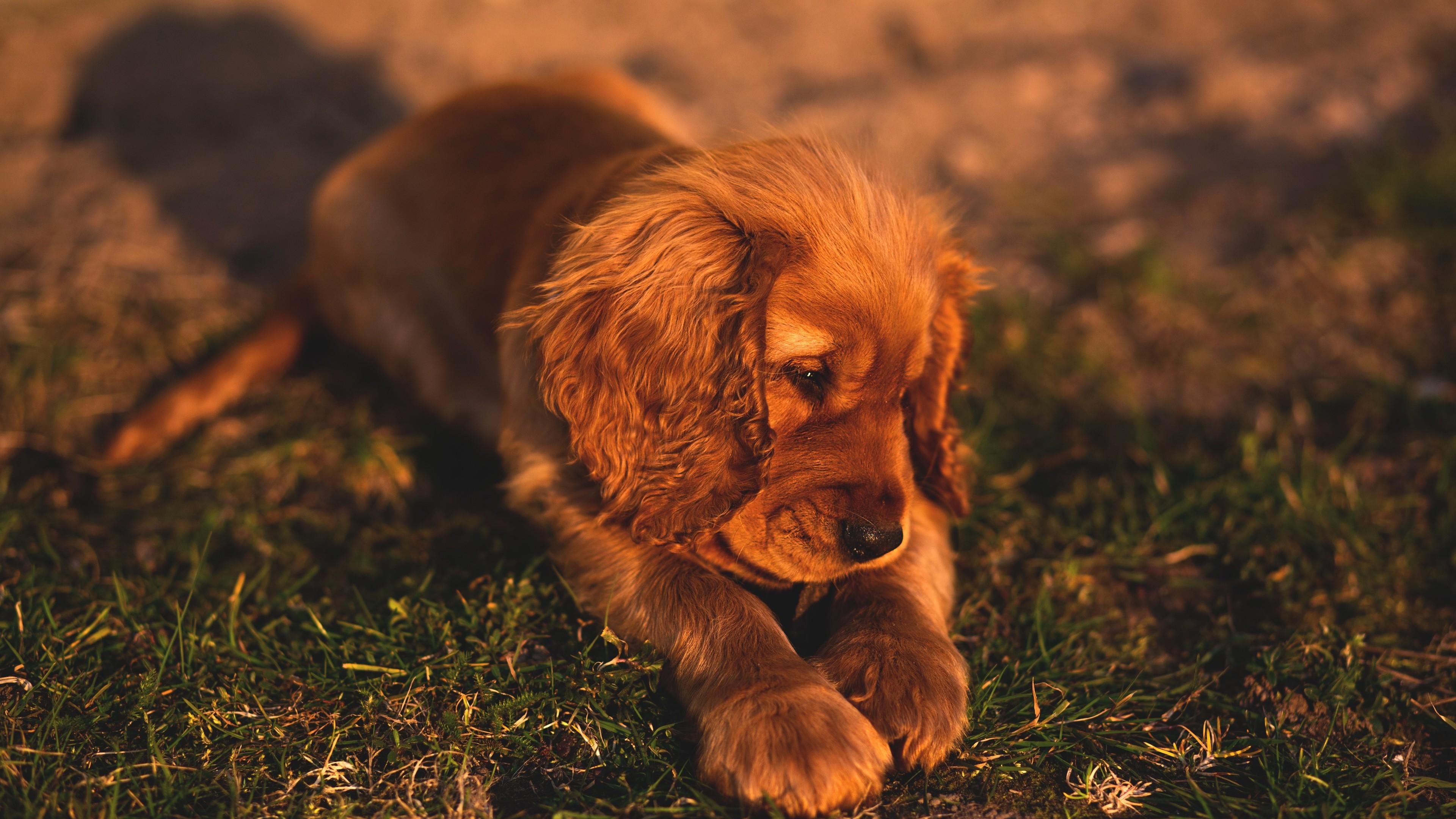 cute small puppy brown hairs 1542239087 - Cute Small Puppy Brown Hairs - puppy wallpapers, hd-wallpapers, hairs wallpapers, dog wallpapers, animals wallpapers, 4k-wallpapers