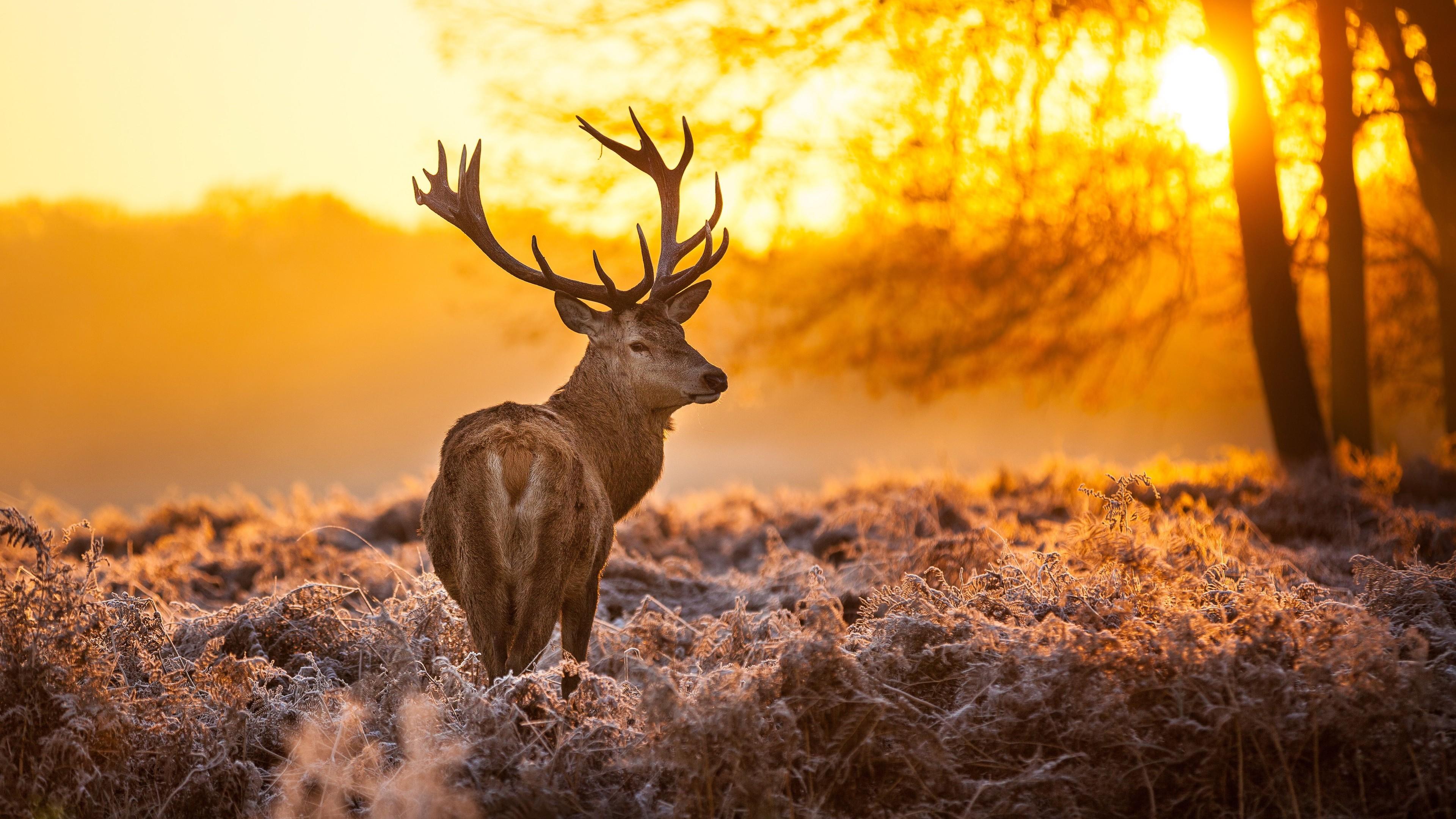 deer in forest 4k 1542237641 - Deer In Forest 4k - forest wallpapers, deer wallpapers, animals wallpapers