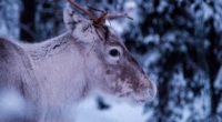 deer muzzle horns eyes 4k 1542242930 200x110 - deer, muzzle, horns, eyes 4k - muzzle, Horns, Deer
