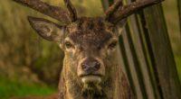 deer snout horns eyes 4k 1542242174 200x110 - deer, snout, horns, eyes 4k - snout, Horns, Deer