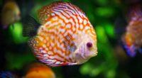 discus fish 4k 1542238395 200x110 - Discus Fish 4k - underwater wallpapers, hd-wallpapers, fish wallpapers, animals wallpapers, 4k-wallpapers